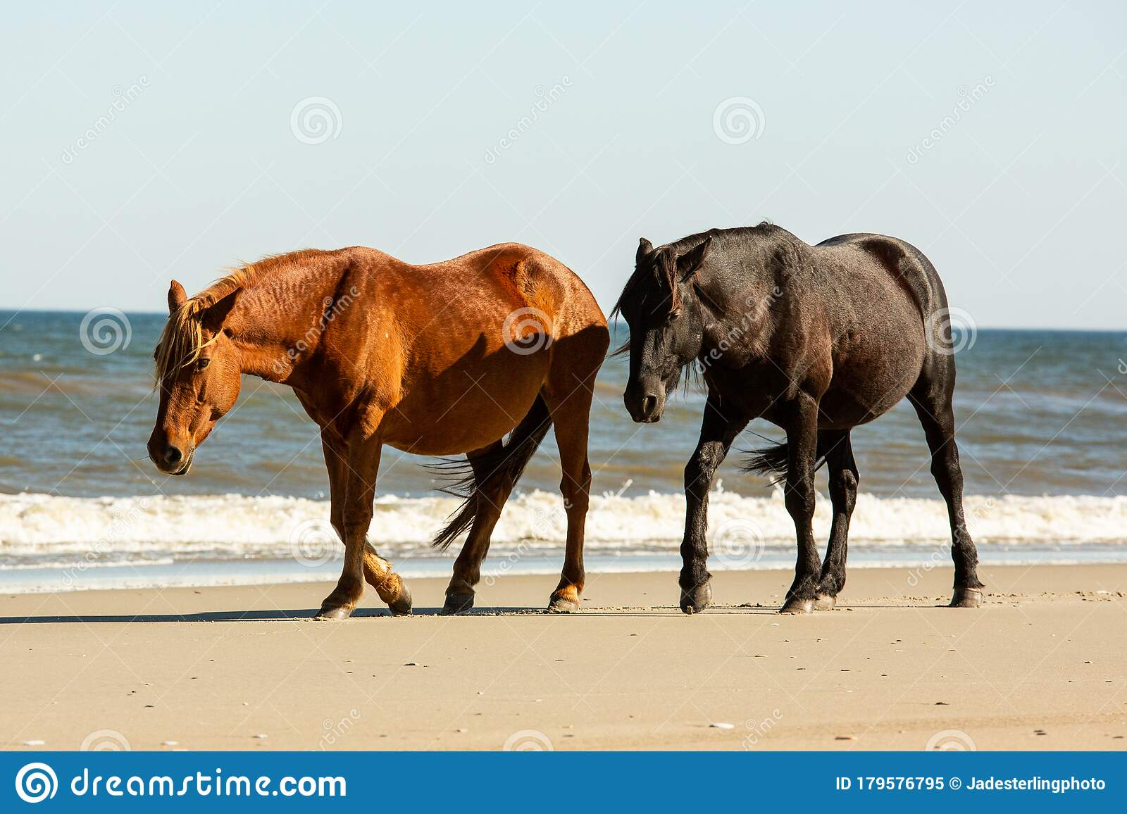 A Wild Black Horse Walking Slightly Behind A Wild Brown Horse On The Beach With Low Breaking Waves At Corolla North Carolina Stock Image Image Of Corolla Front 179576795