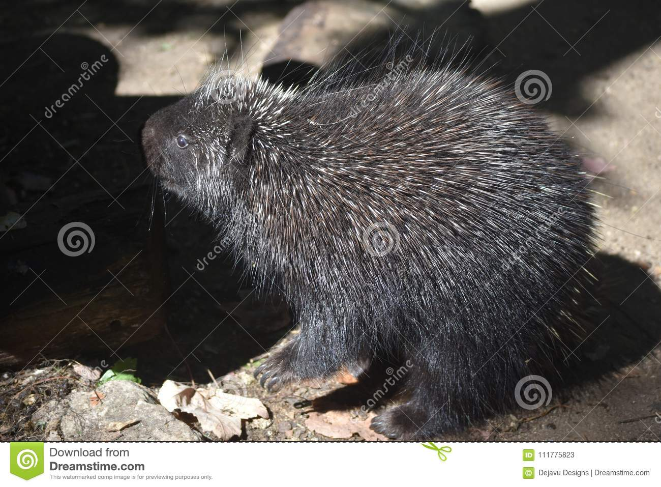 Cute american porcupine with white tipped quills