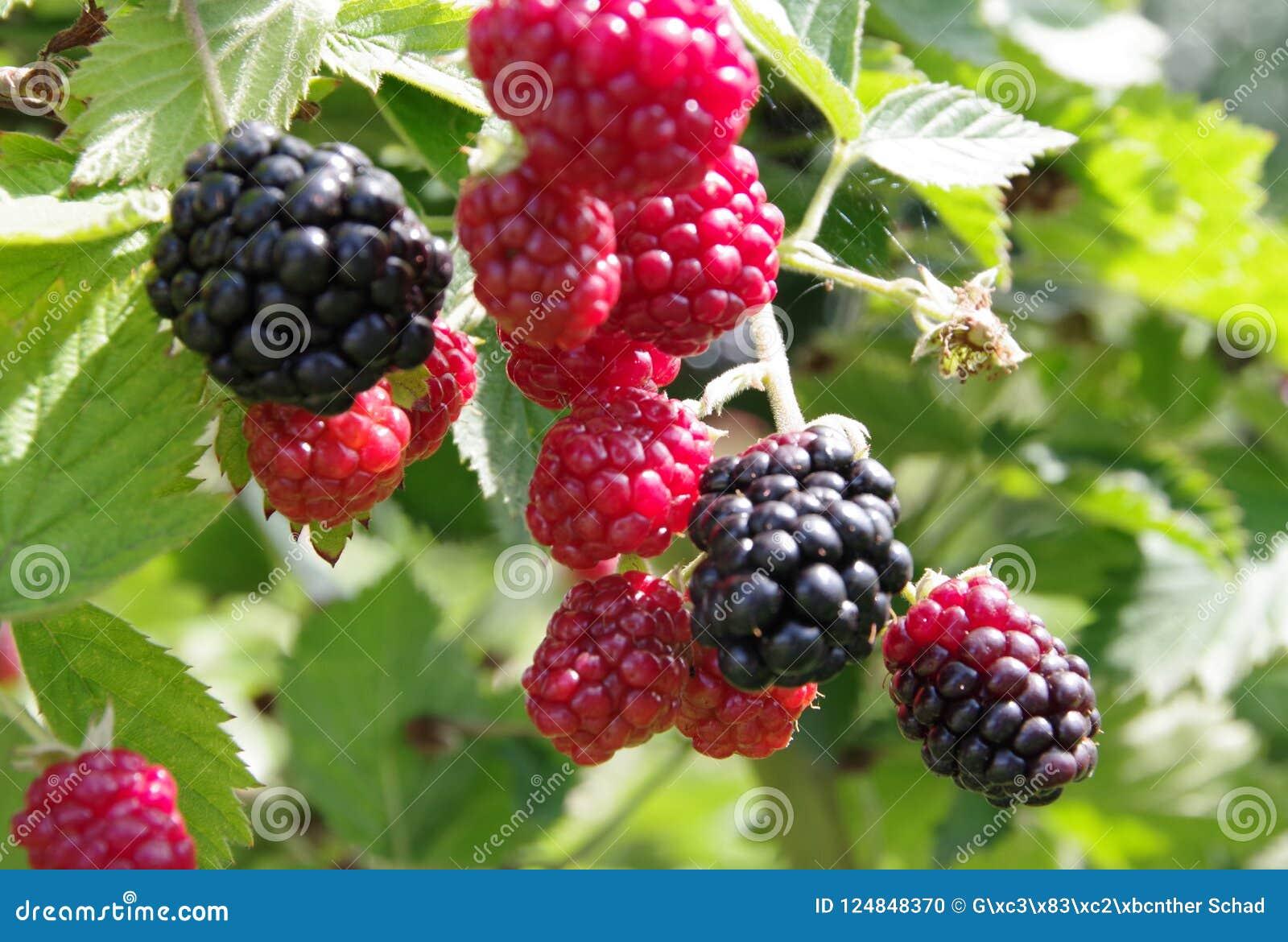 Wild blackberries in different states of maturity