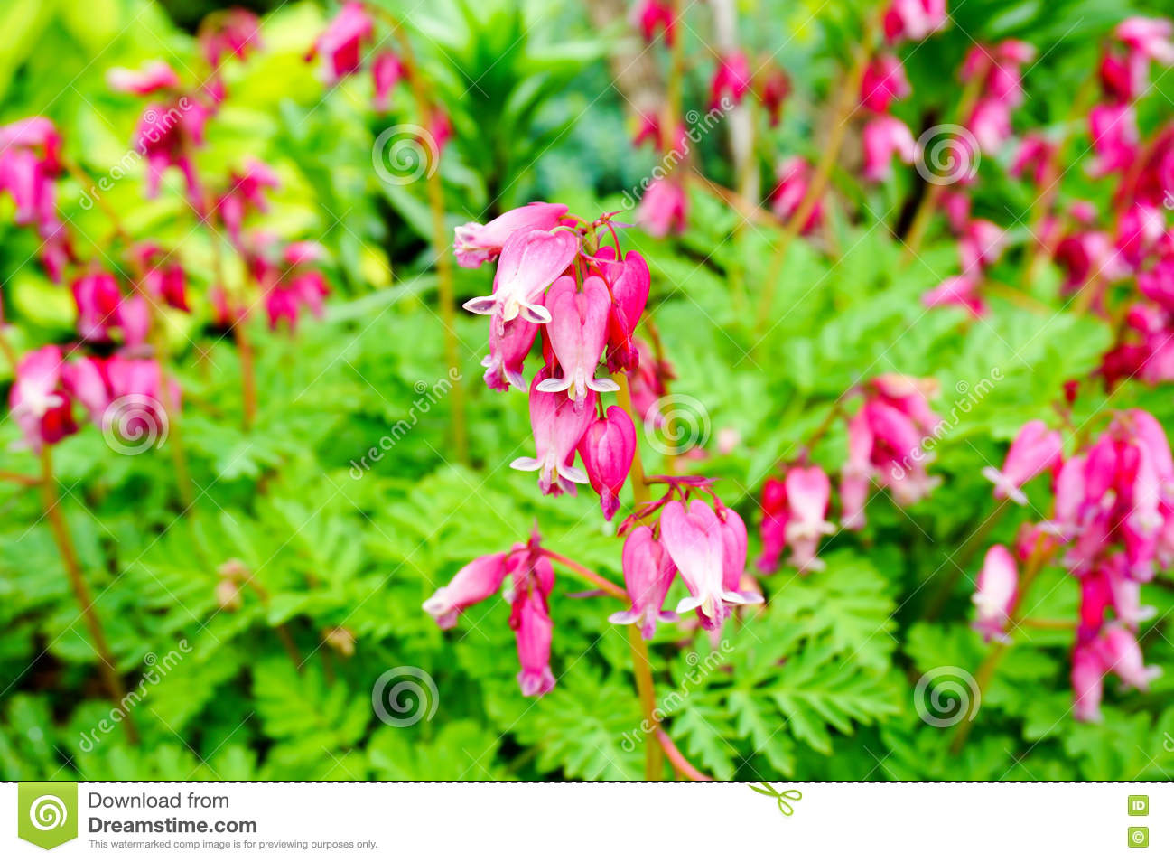 Wild Bleeding Heart Flower Dicentra Eximia Stock Image
