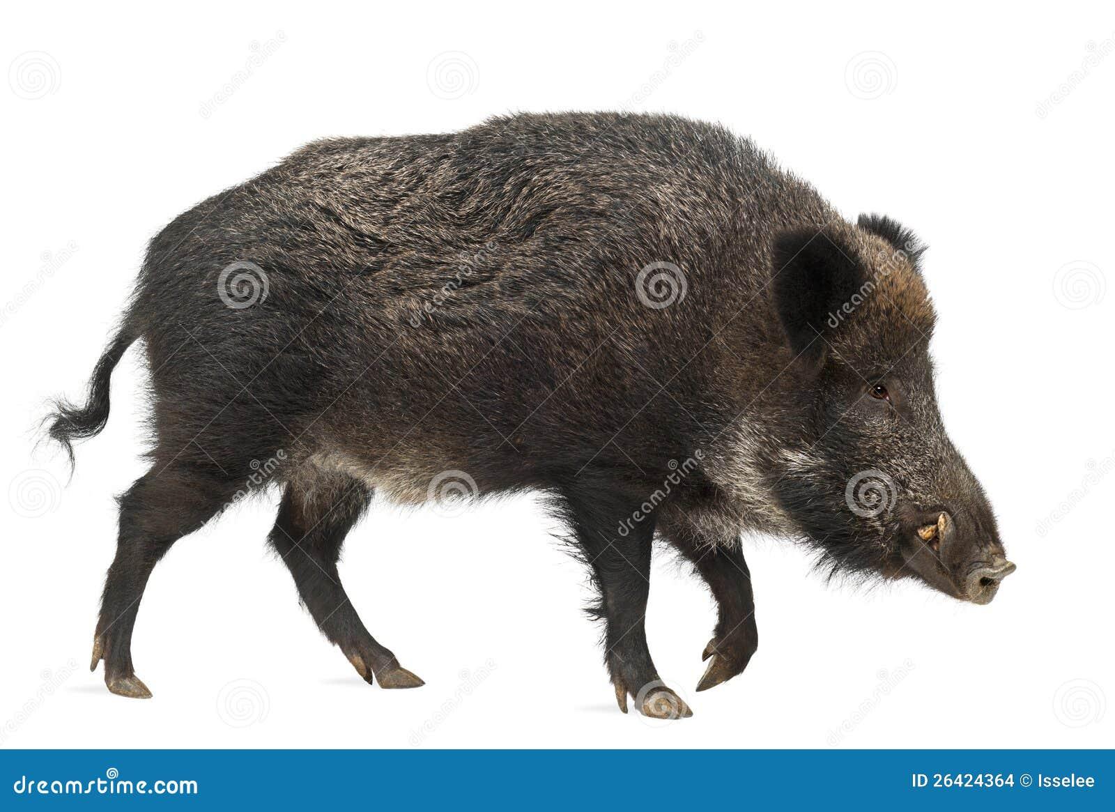 wild boar  also wild pig  sus scrofa stock images image polar bear clip art free polar bear clipart easy to draw