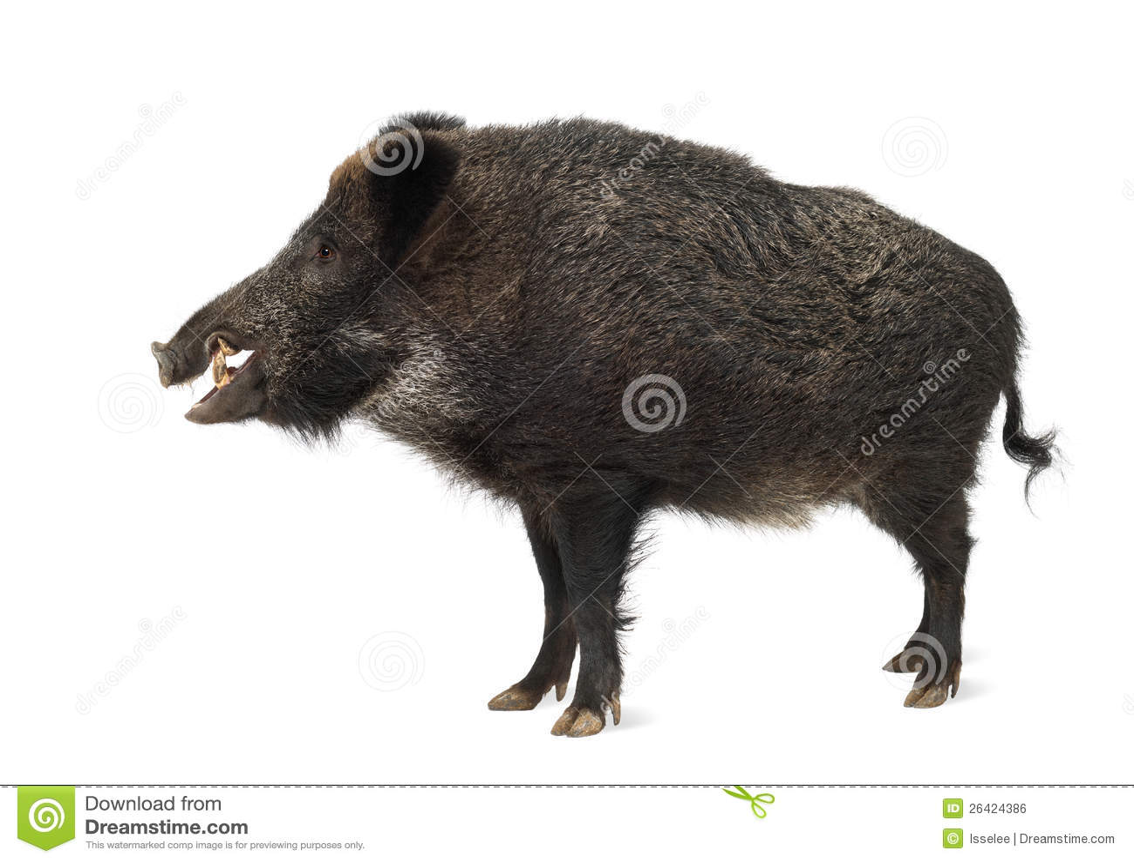 wild boar  also wild pig  sus scrofa royalty free stock wild boar clip art images wild boar clip art with bullseye