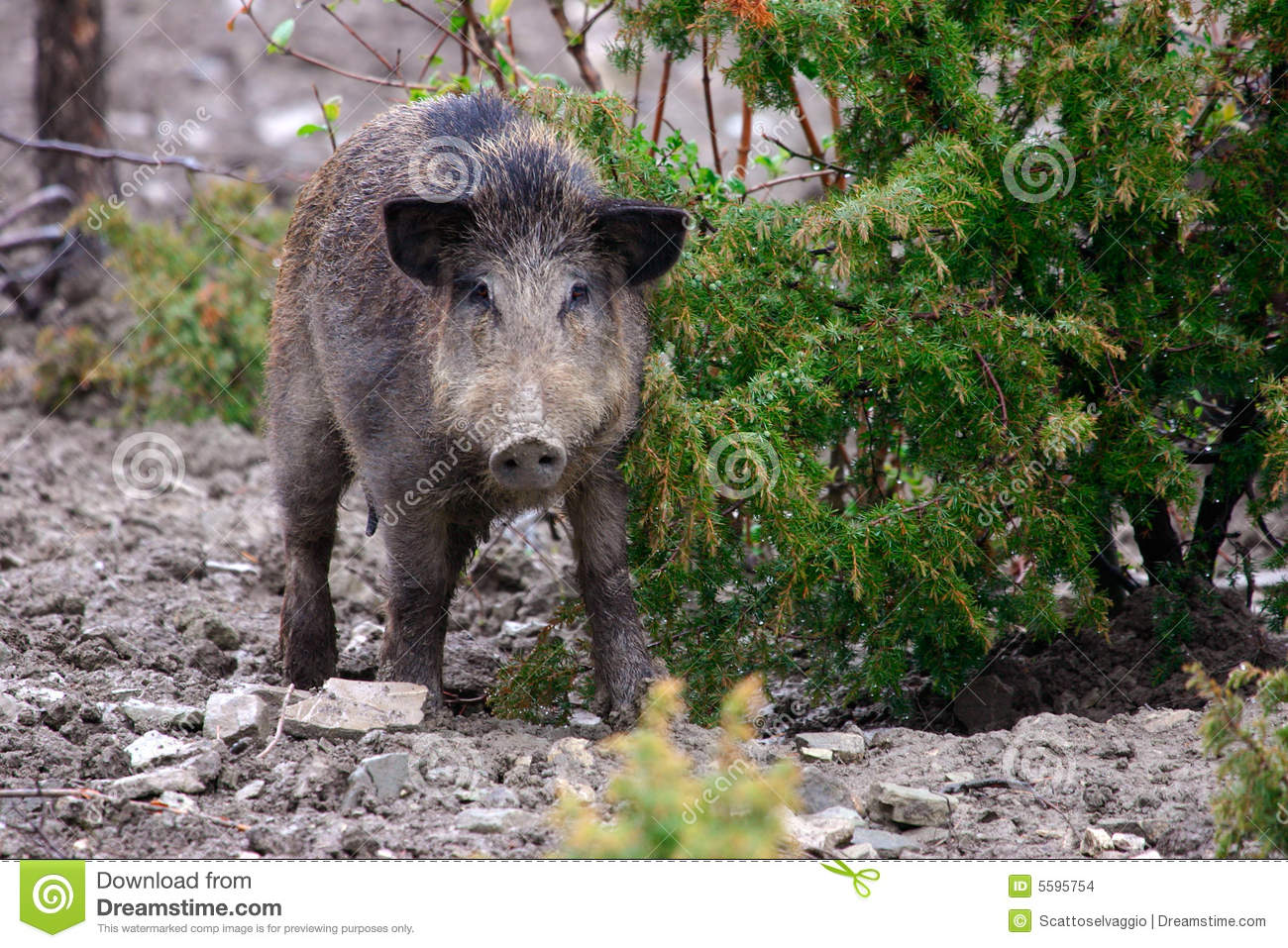 Female Wild boar (Sus scrofa) in the Apennine mountains bushes, Italy.