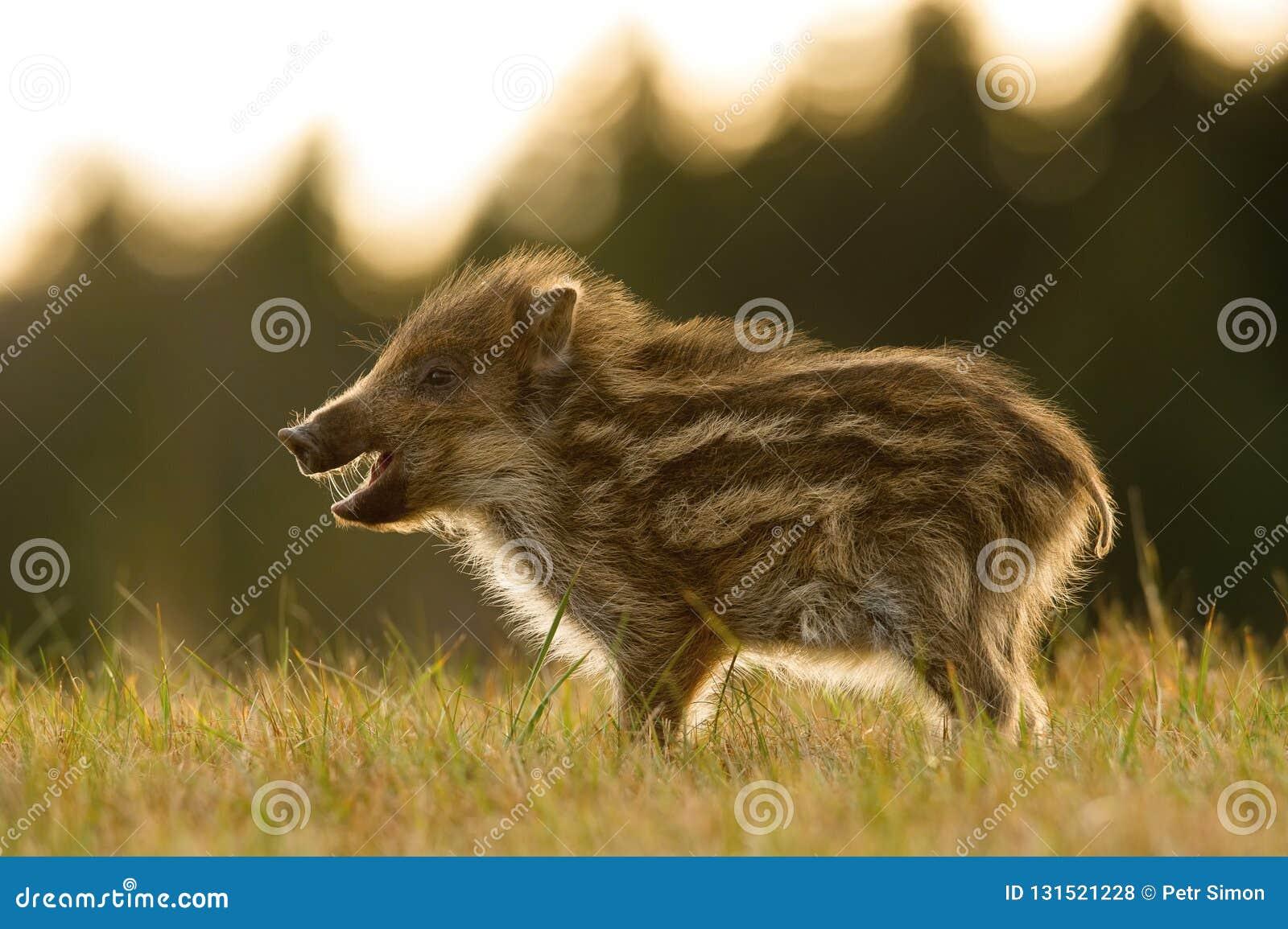 The Wild Boar piglet, sus scrofa