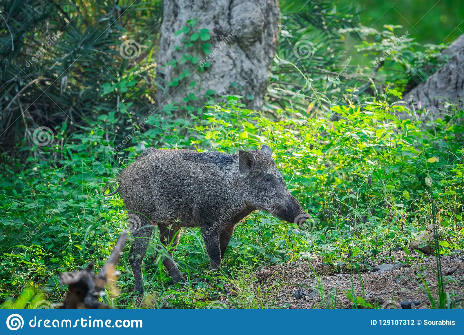 Wild boar roaming in a beautiful green background in a rainy season at Ranthambore National Park, India