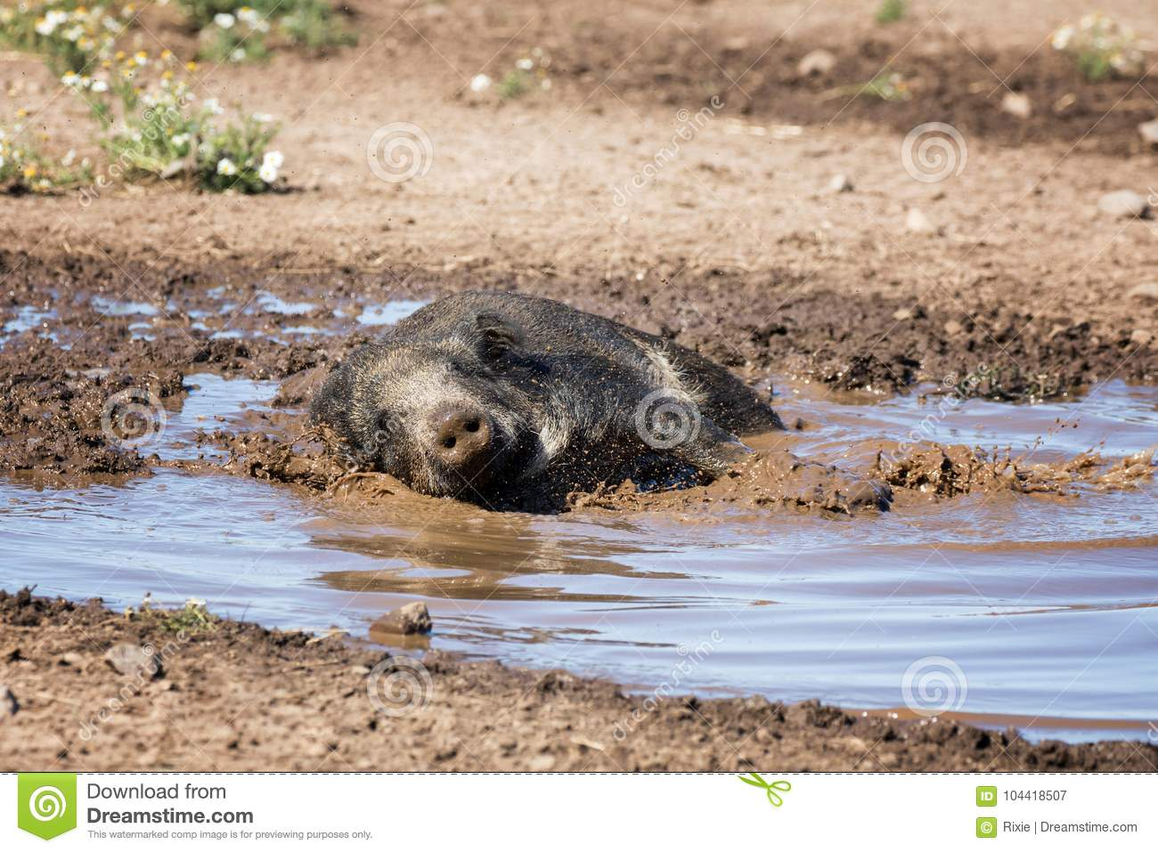 Wild boar taking a mud bath