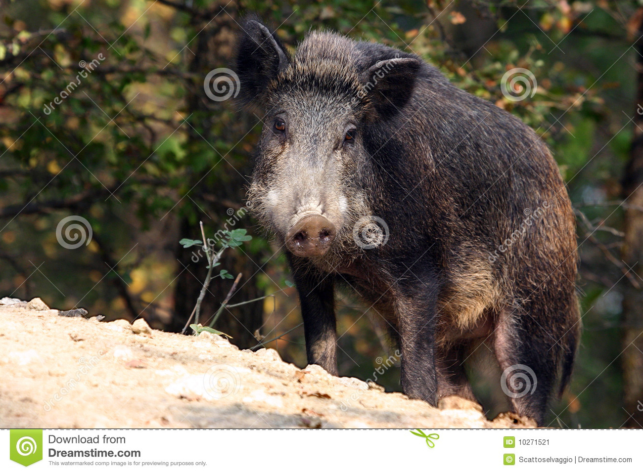Wild boar or Wild hog (Sus scrofa). Wild boar in the Apennine mountains forest, Italy, Oltrepo Pavese.