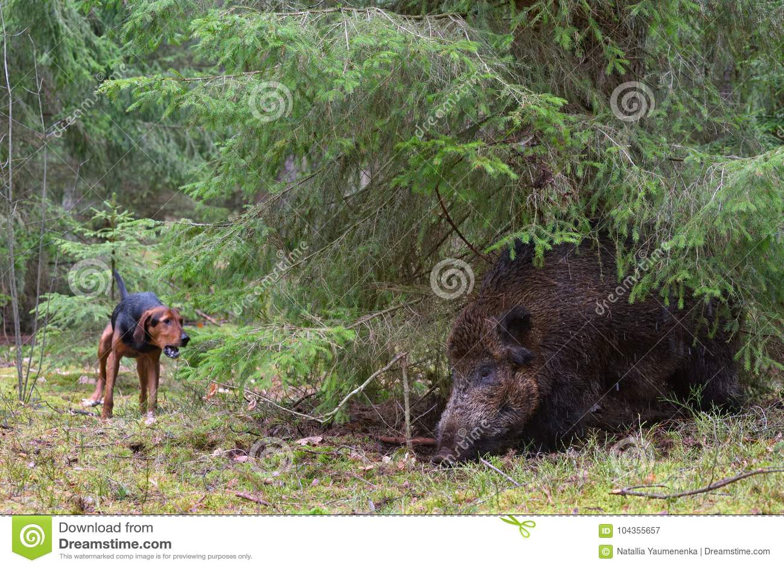 Hunting on wildboar stock image  Image of rural, boar