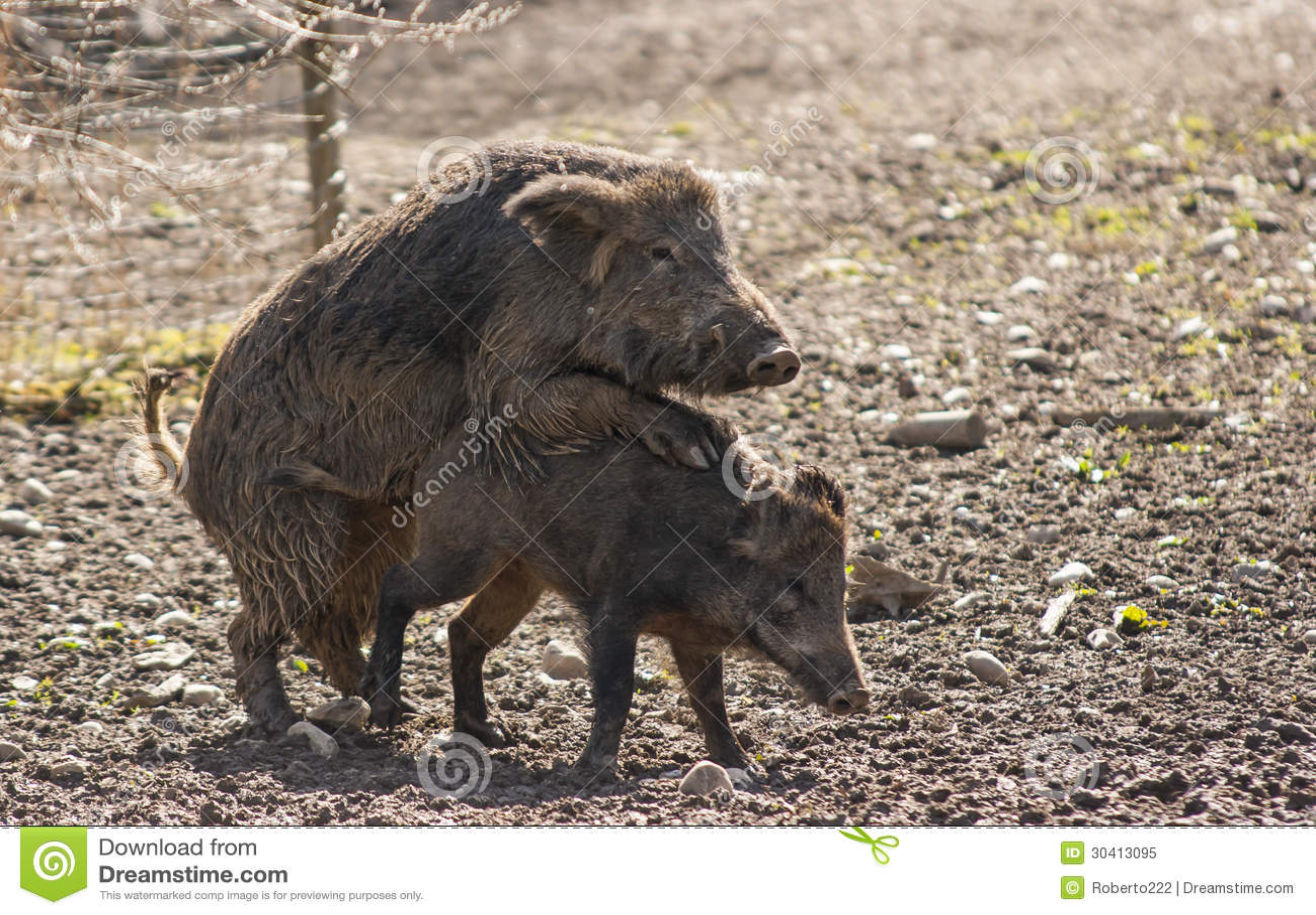 Free boar sex speak this