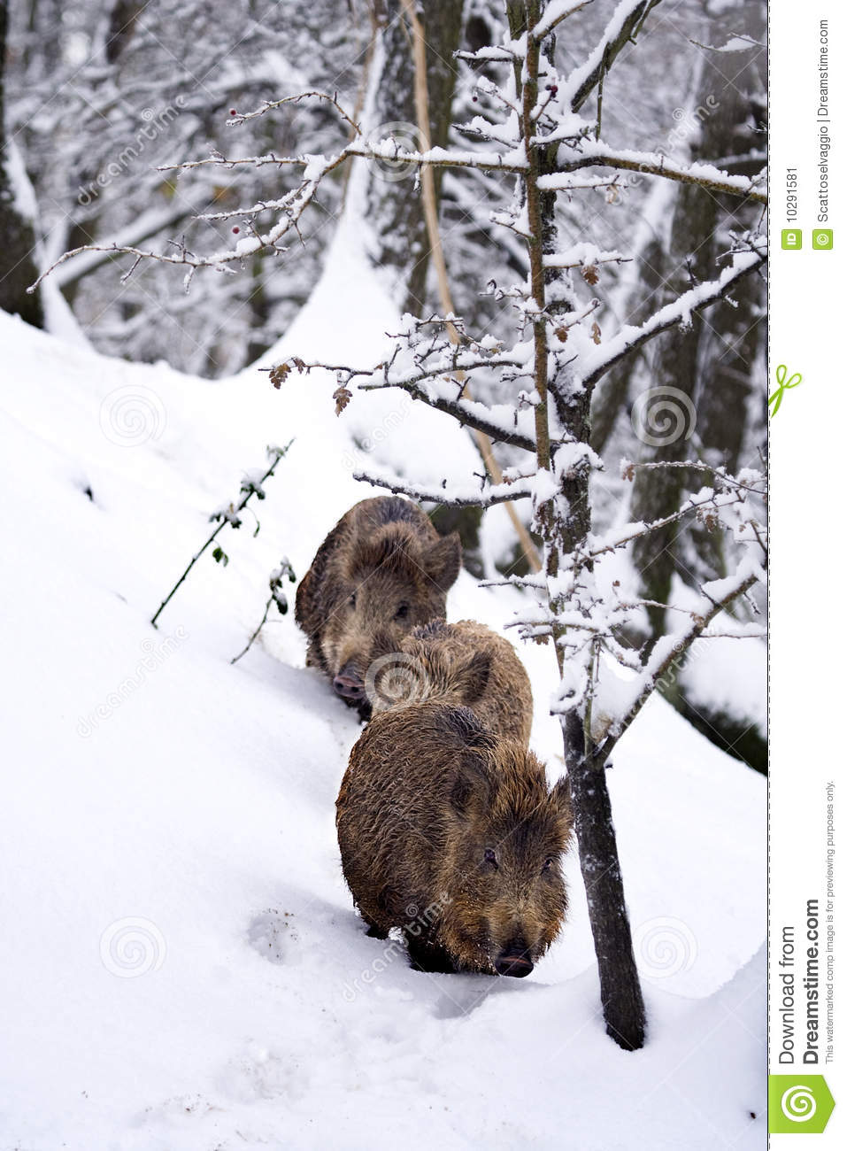 Wild boars or Wild hogs (Sus scrofa) in the snow. Three young wild boars walking in the snow, in the woods, in winter.