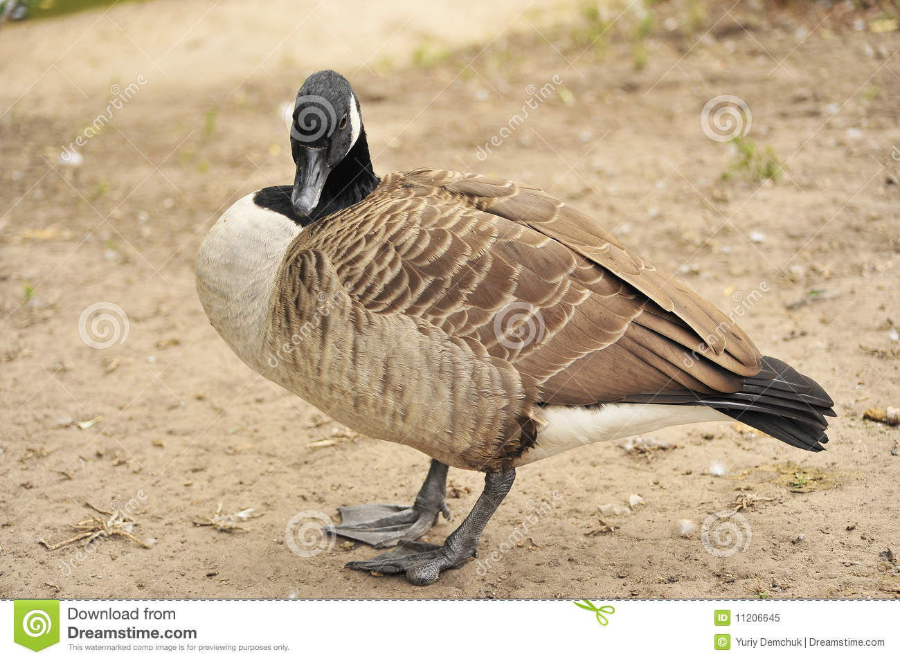 Wild brant bird waterfowl