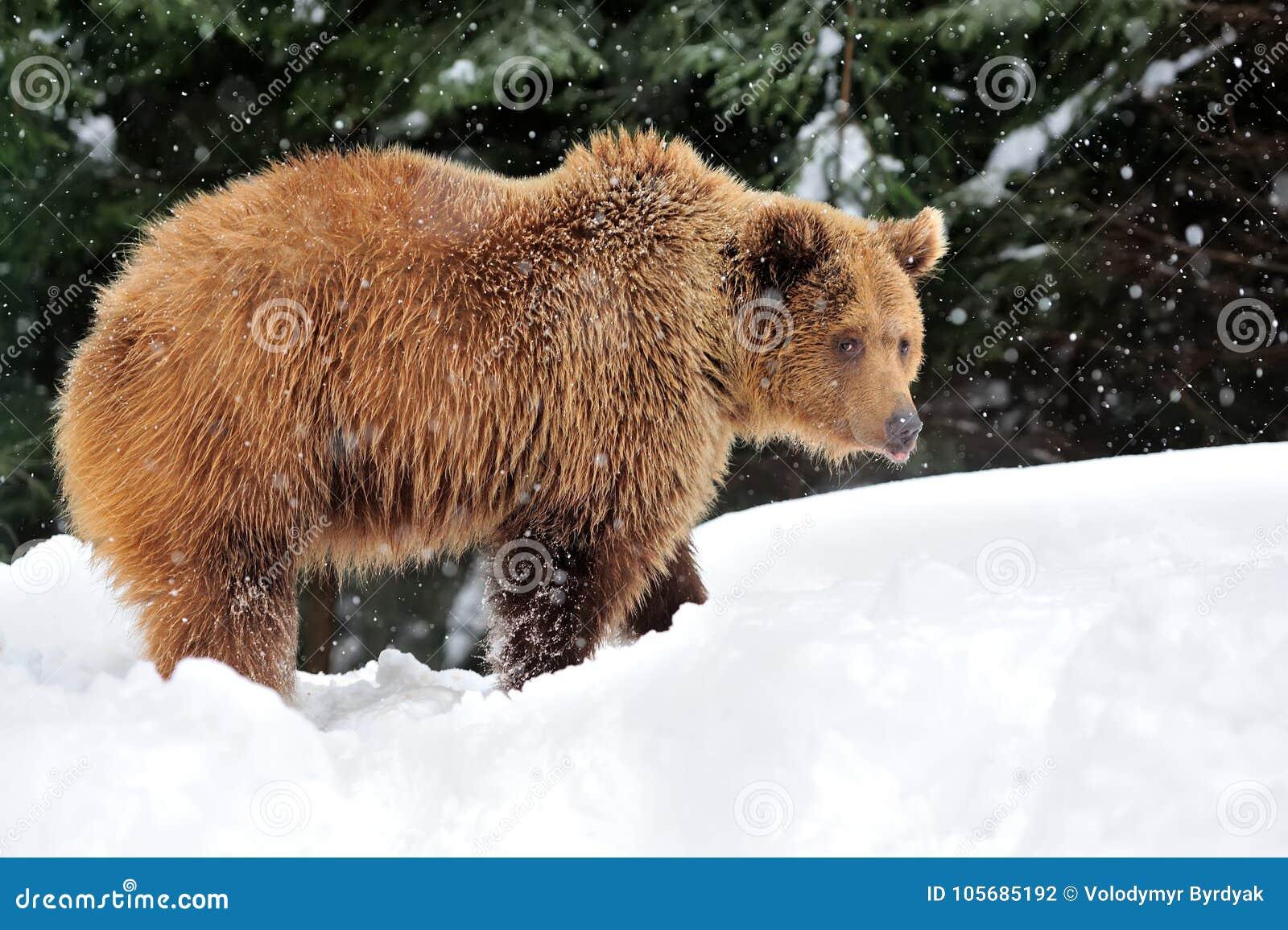 bear in winter time stock photo image of arctic huge. Black Bedroom Furniture Sets. Home Design Ideas