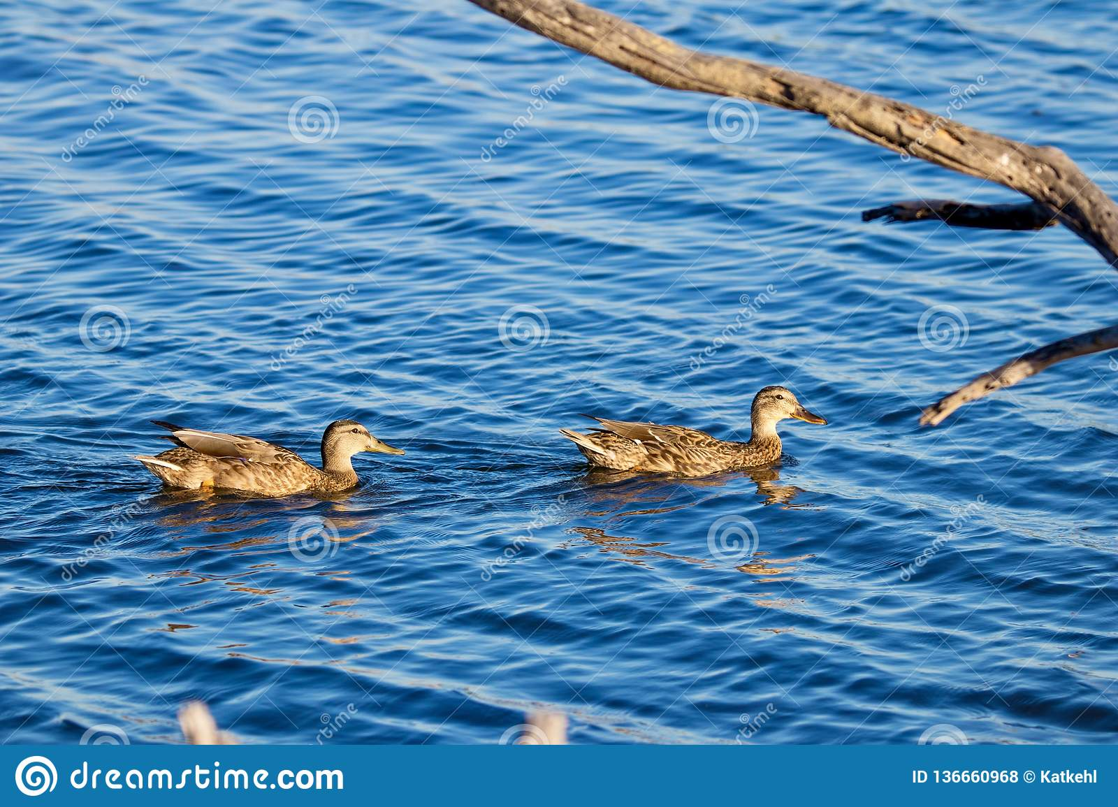 Ducks swimming in water