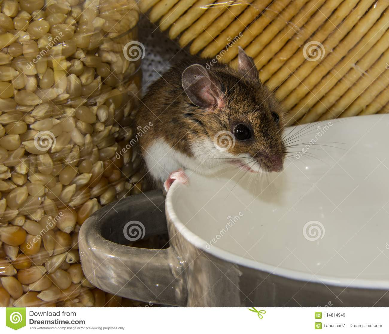 A Wild Brown House Mouse Perched On The Edge Of A Bowl In A Kitchen Cabinet Stock Image Image Of Chew Invade 114814949