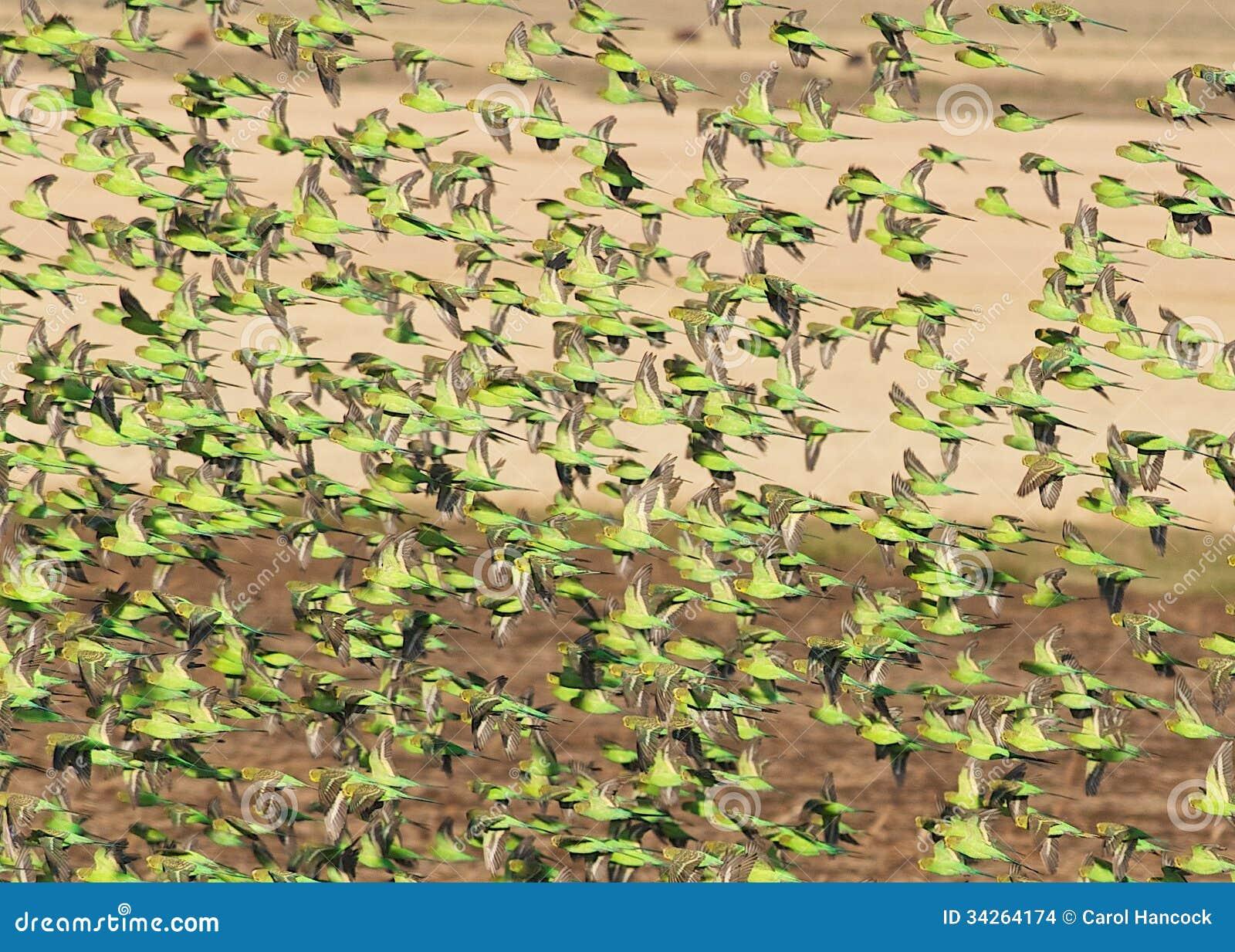 Wild Budgies In Queensland Australia Stock Images - Image: 34264174