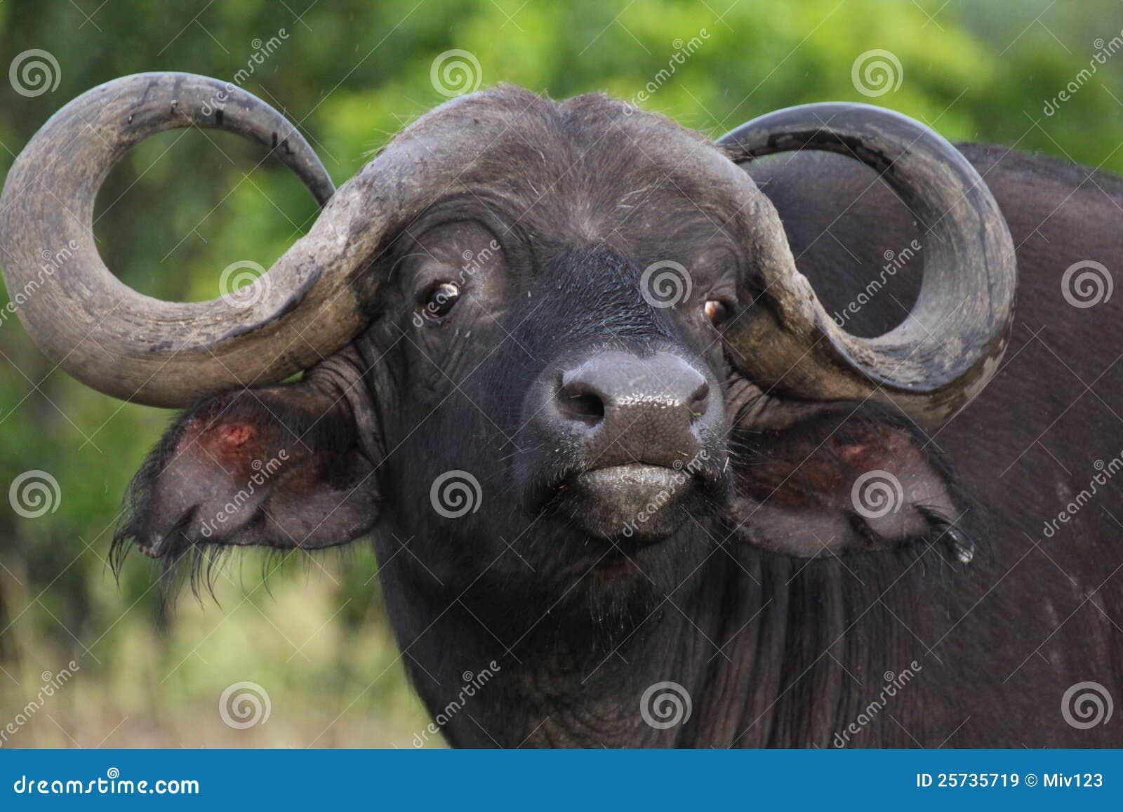 Wild buffalo in Masai Mara, Kenya