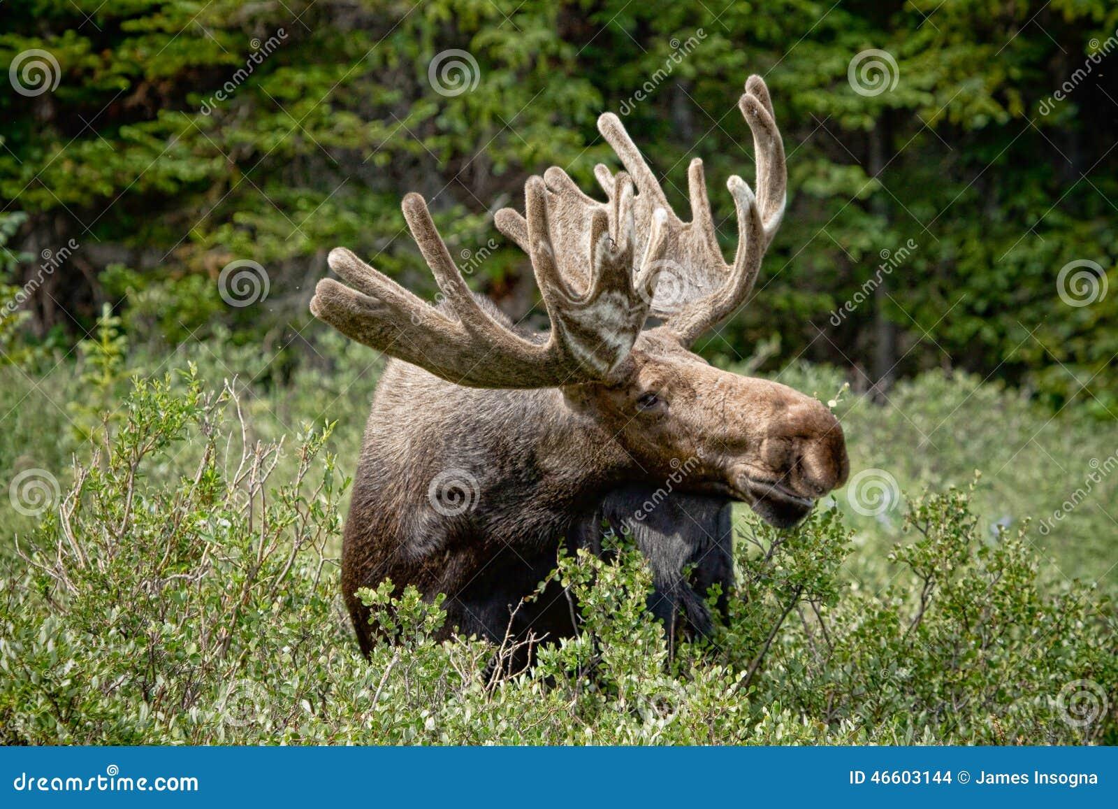 Wildlife Scene Sweden Moose Lying Grass Stock Photo 515870854 ...