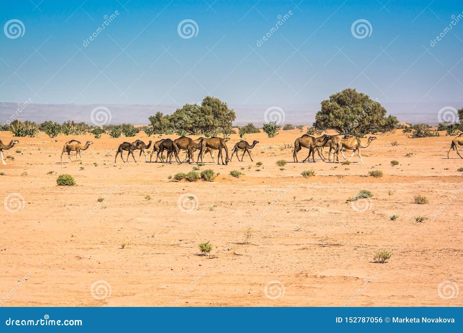 Wild camels in desert Sahara in Erg Chigaga, Morocco