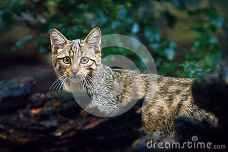 Wild Cat, Felis silvestris, animal in the nature tree forest habitat, Central Europe