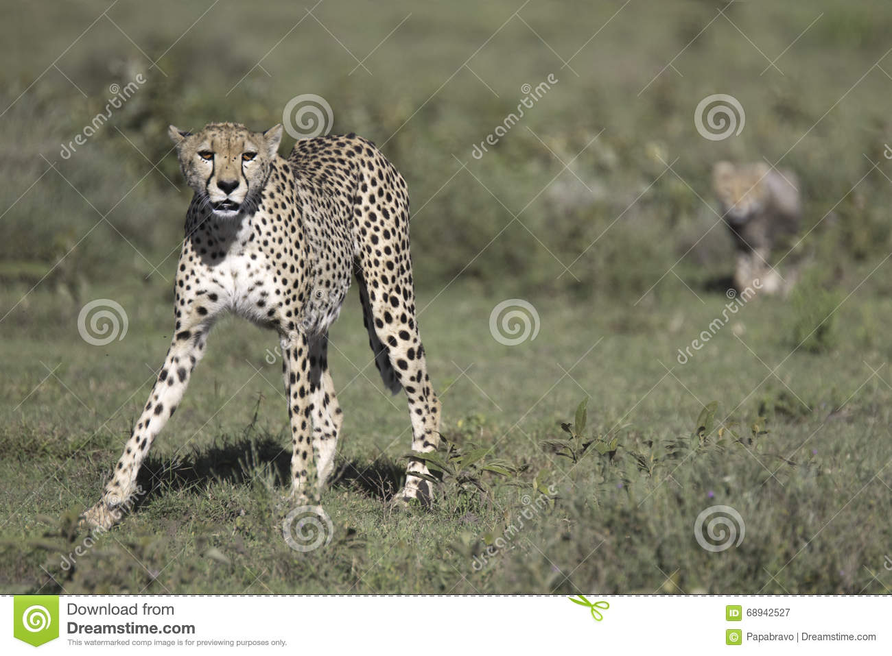 A biography of the cheetah in its natural habitat