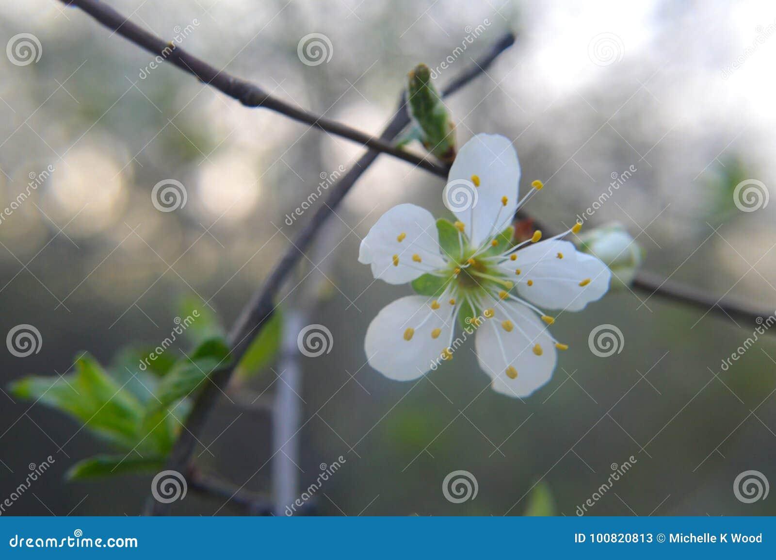 Wild cherry blossoms prunus avium 1