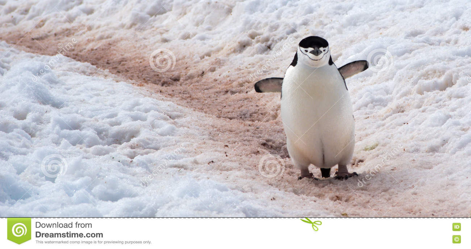 Wild Chinstrap Penguins in Antarctica