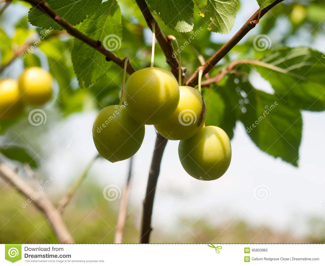 Wild Close Up Growing Gage Plums on Tree