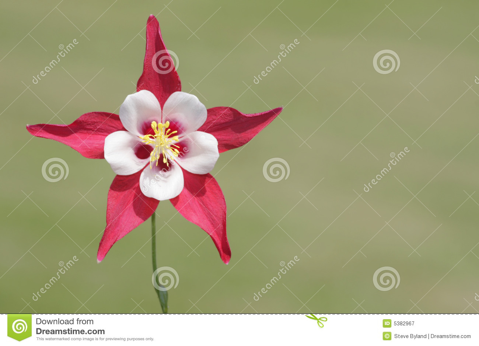 Wild Columbine Flower Aquilegia Stock Image Image Of Columbine