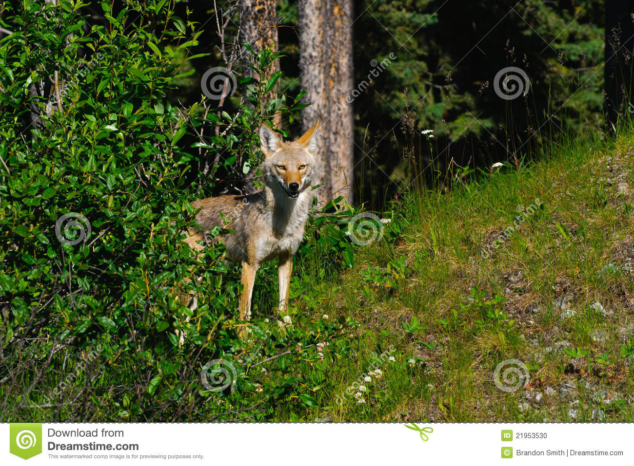 Wild Coyote in the mountains, Kananaskis country Alberta Canada.