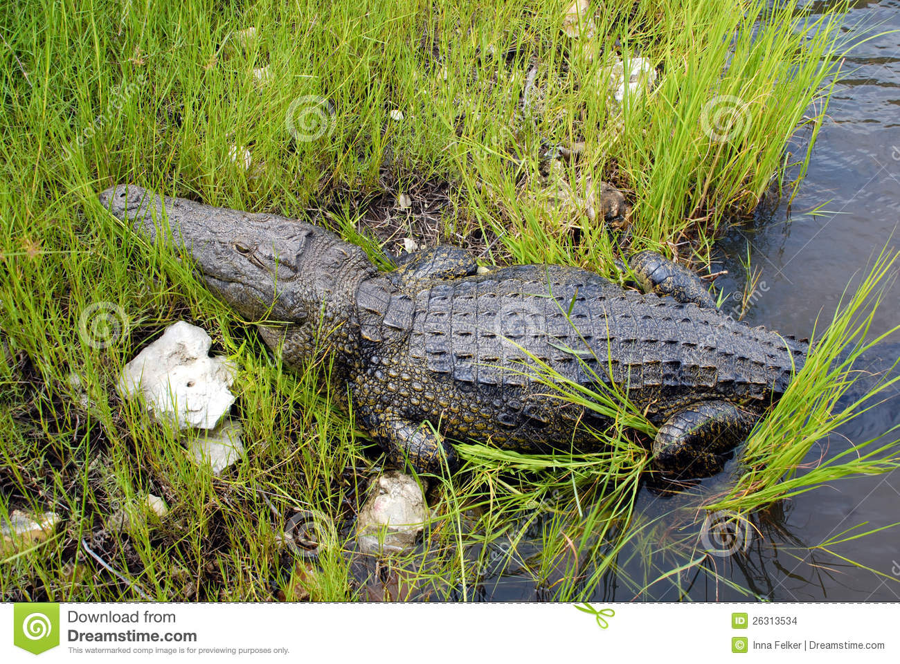 Wild Crocodile In Zambezi River Stock Photo - Image: 26313534