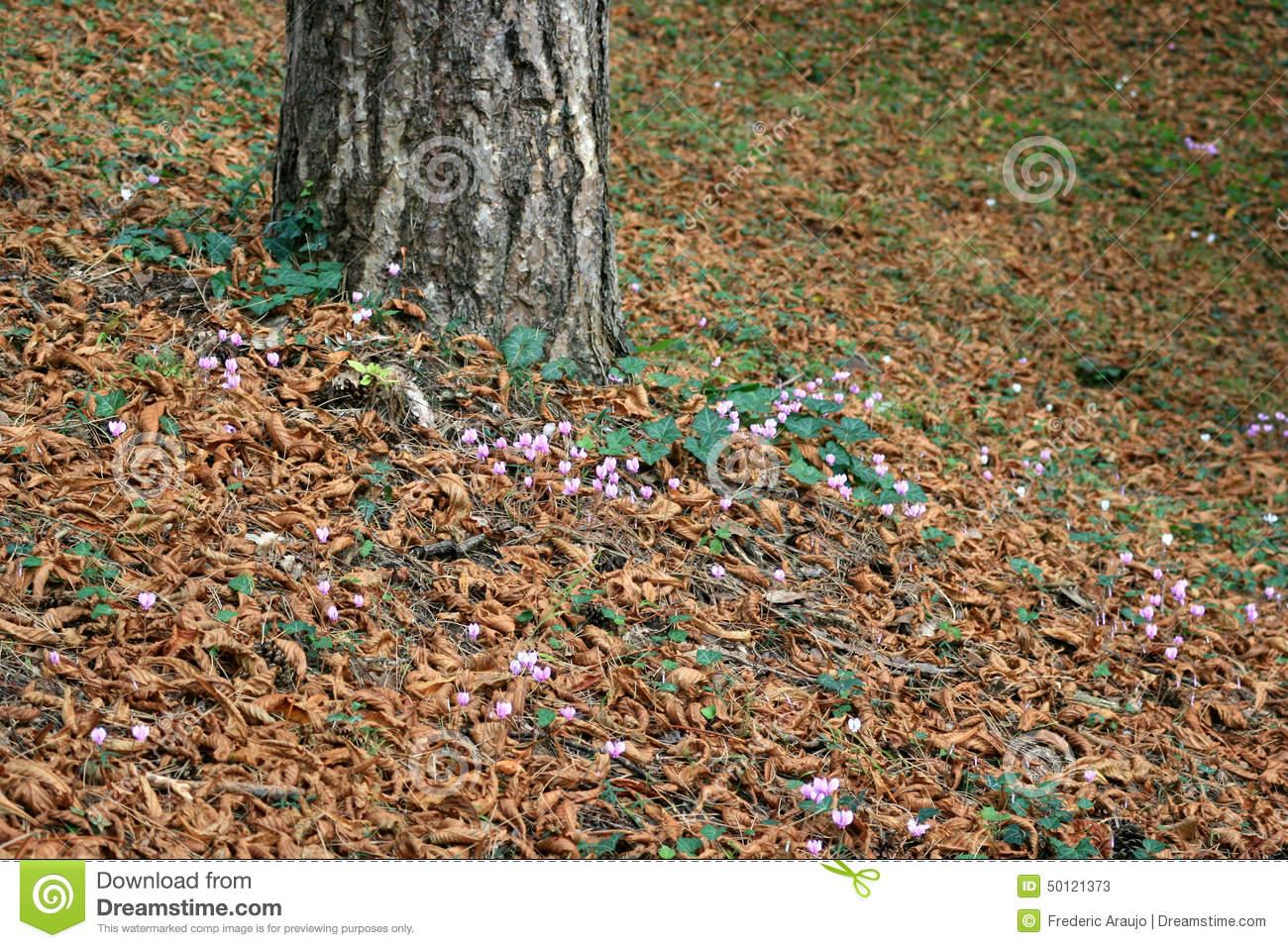 Wild Cyclamens Are Blooming At The Foot Of A Tree In The Gardens Of ...