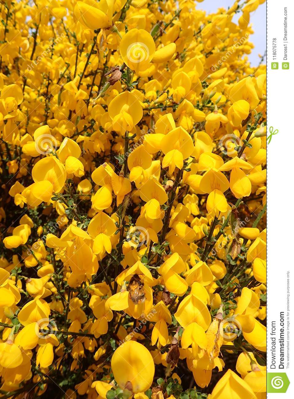 Macro Shot Of Wild Scotch Broom Plant In Full Bloom On A Sunny Day