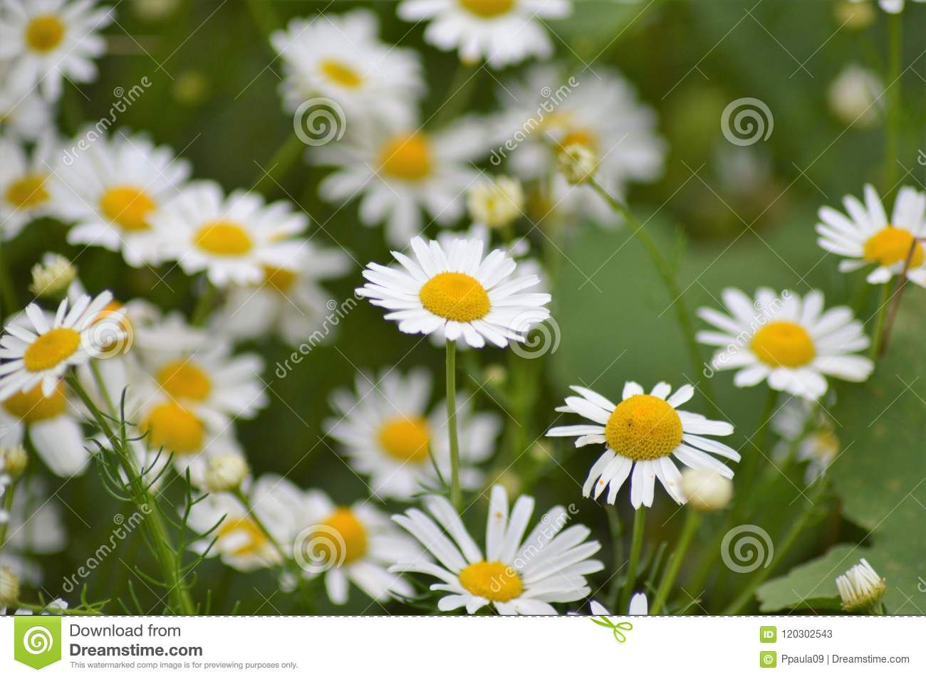 The wild daisy flower stock image image of lawn considered 120302543 the wild daisy flower izmirmasajfo