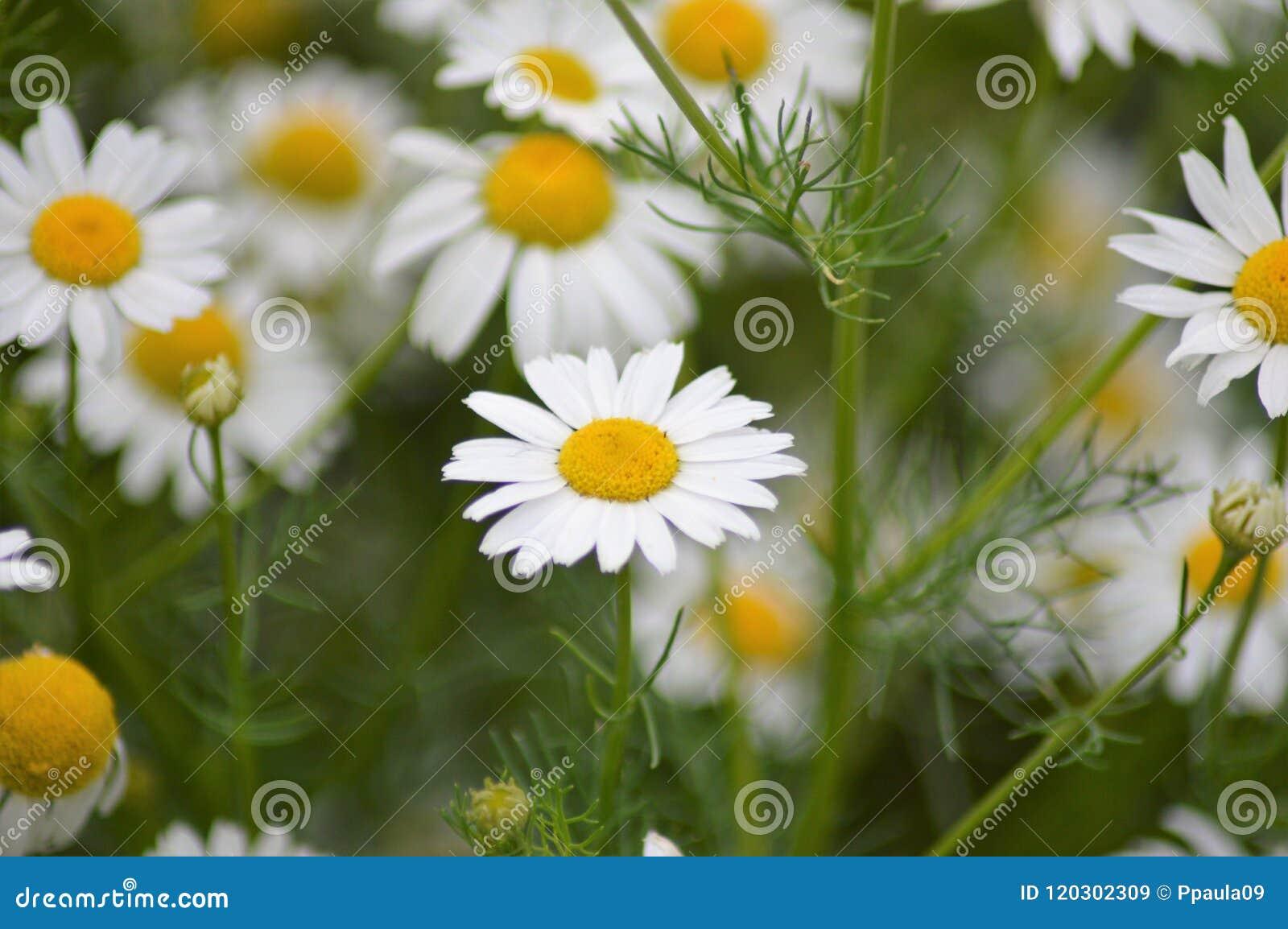 The wild daisy flower on the field stock image image of archetypal the wild daisy flower on the field izmirmasajfo