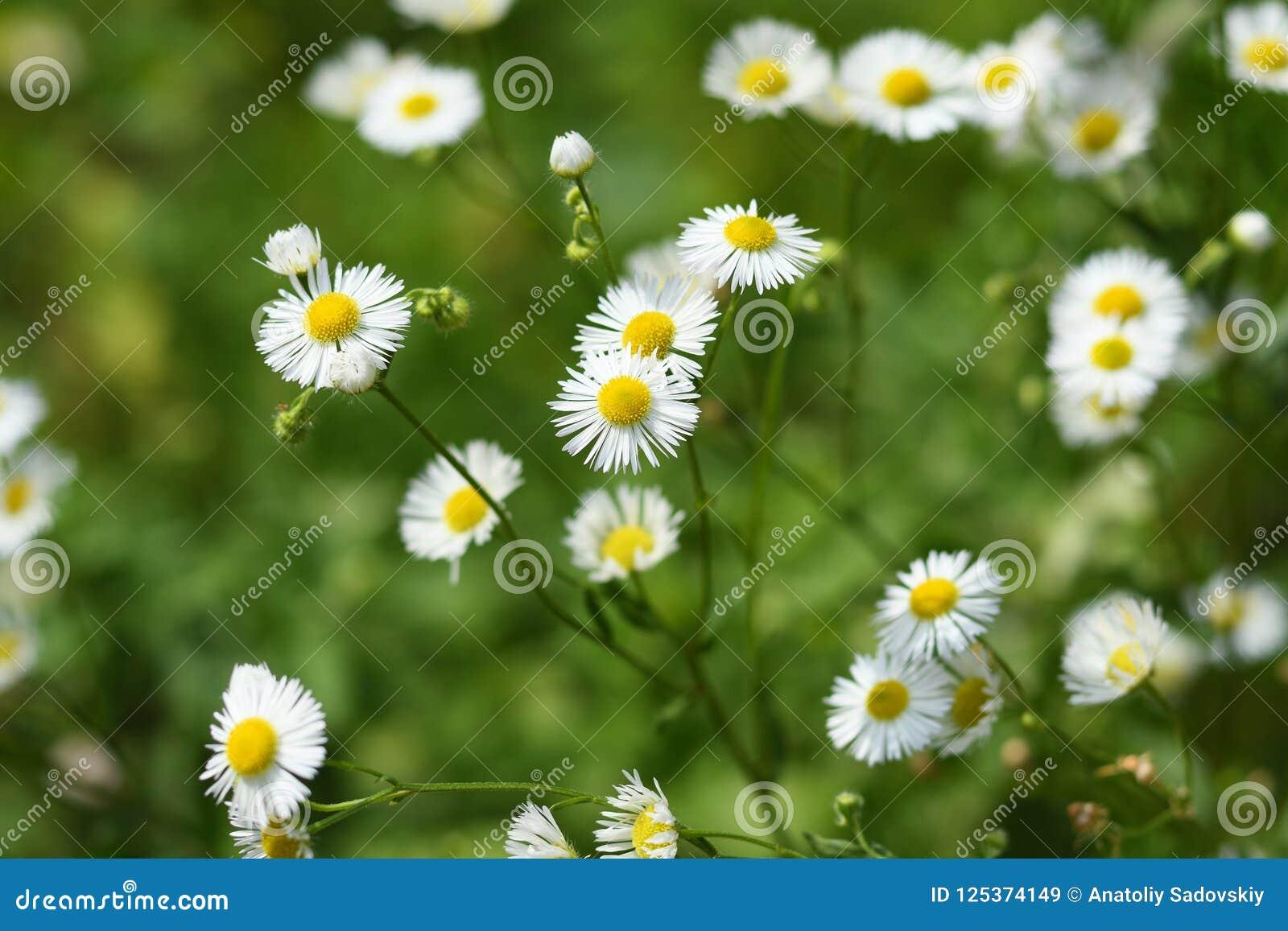 Wild daisy flowers stock image image of summer daisy 125374149 download wild daisy flowers stock image image of summer daisy 125374149 izmirmasajfo