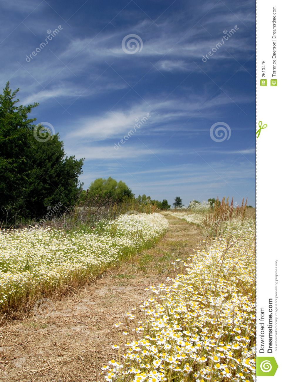 Wild Daisy Meadow Path