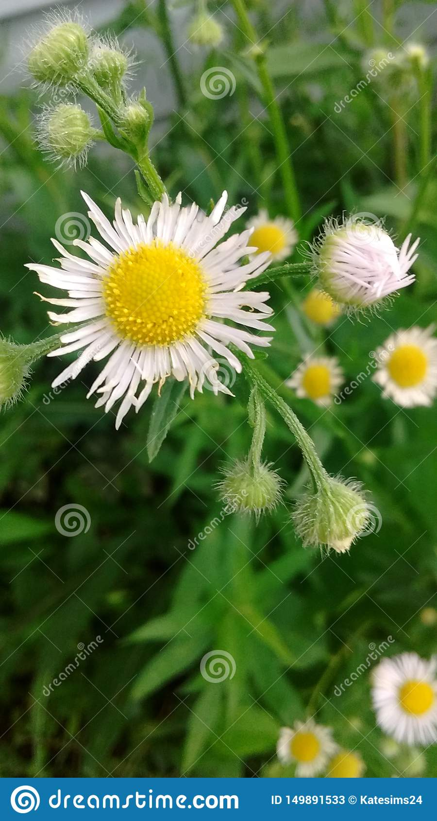 Wild Daisy in nature