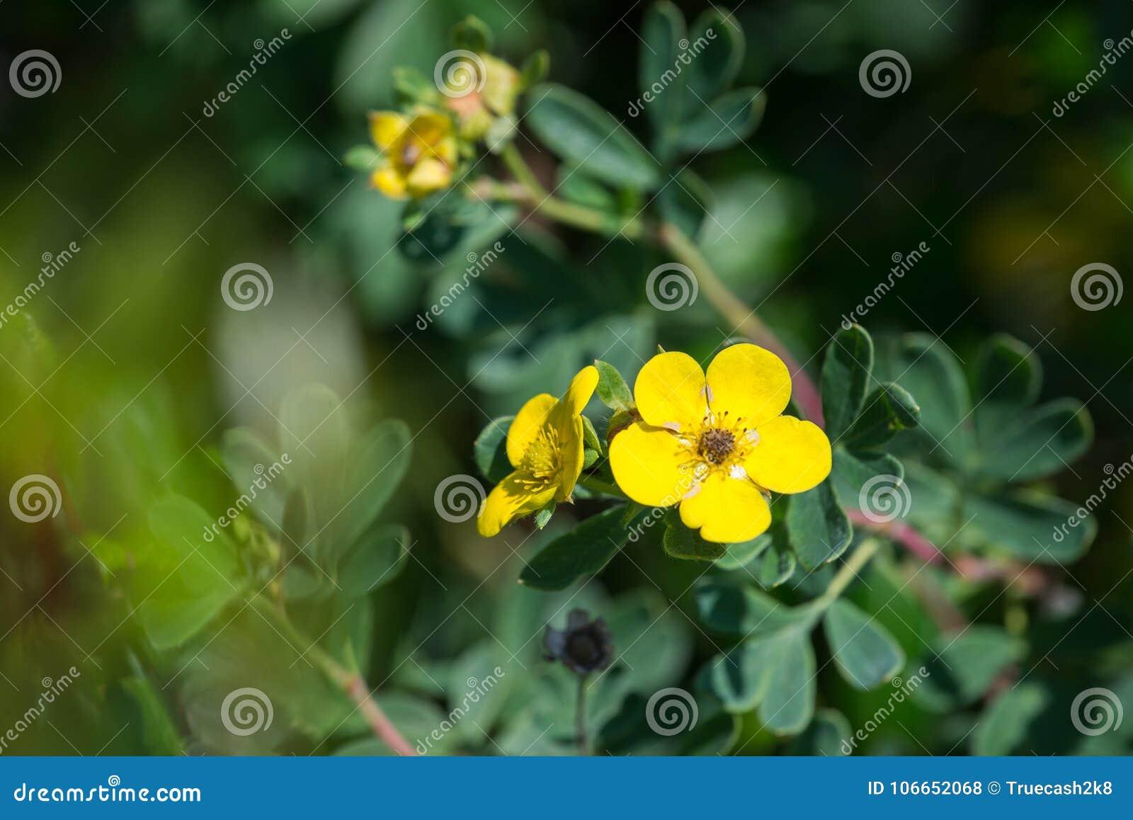 Wild dasiphora fruticosa yellow flowers blossoms closeup shot wild dasiphora fruticosa yellow flowers blossoms closeup shot mightylinksfo