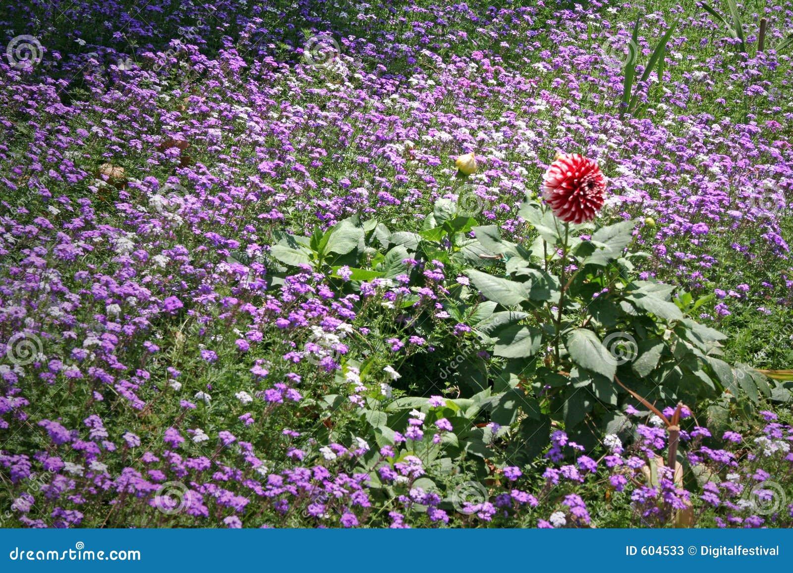 Wild de bloemgebied van de lavendel