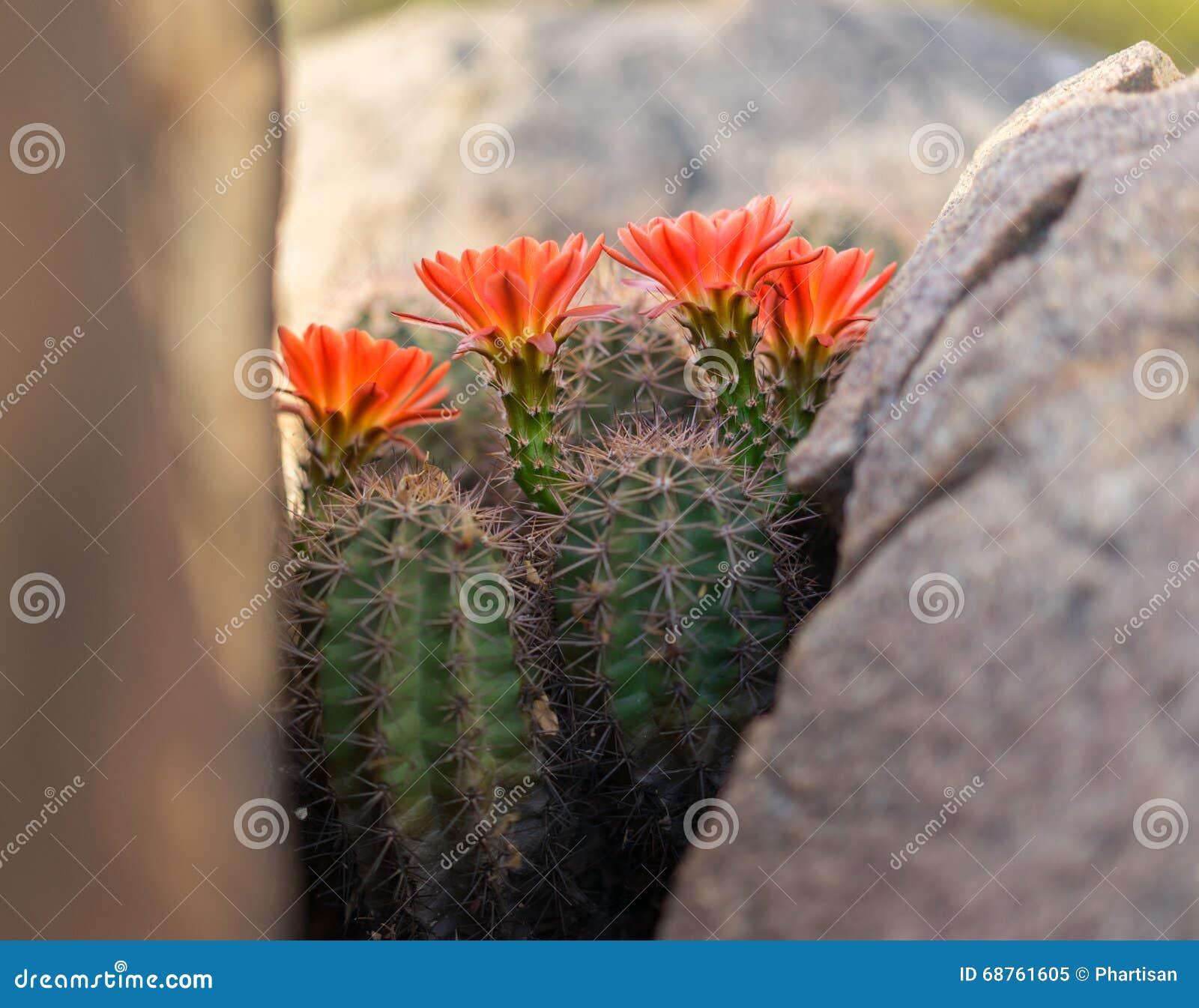 Wild Desert Spring Bloom Cactus Flowers Stock Image Image Of