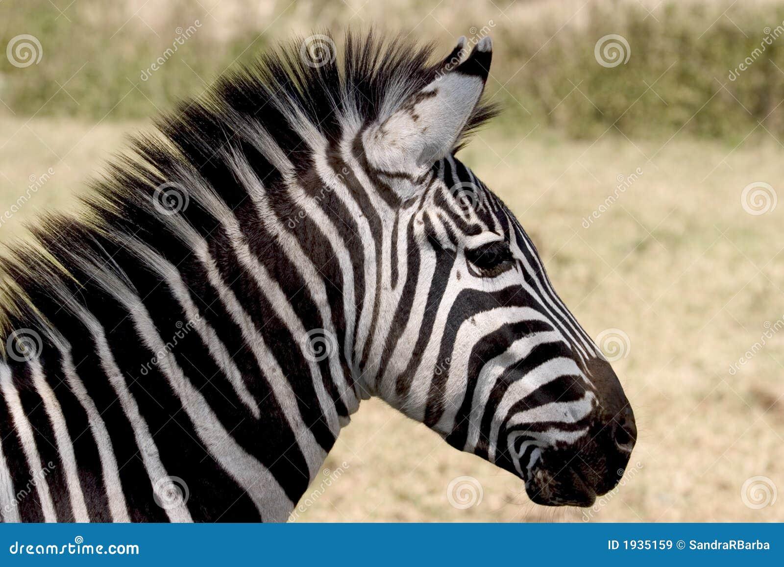 wild dier in afrika  serengeti nationaal park royalty zebra vector art zebra vector tileable