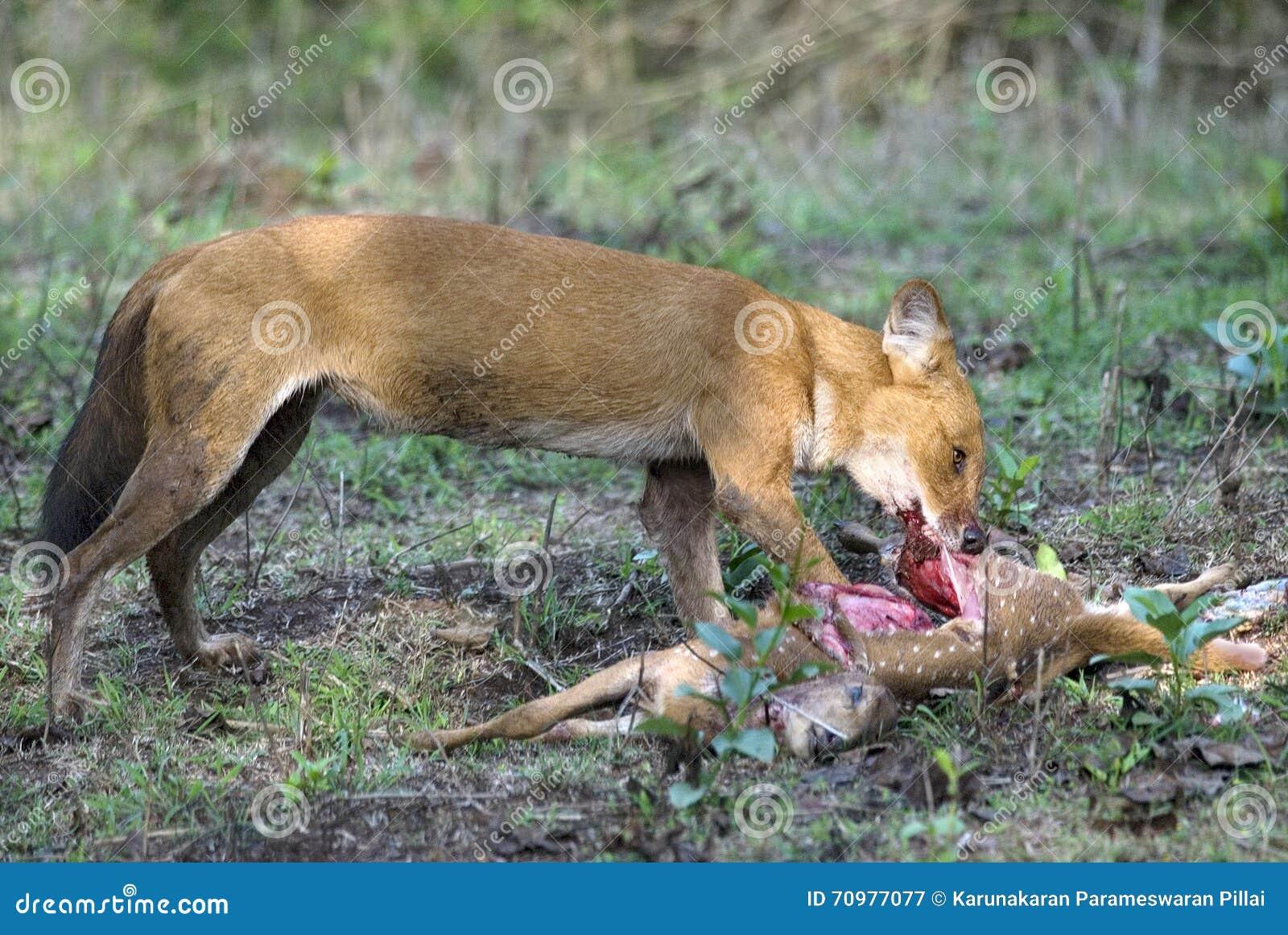 Wild dog feeding on hunted deer