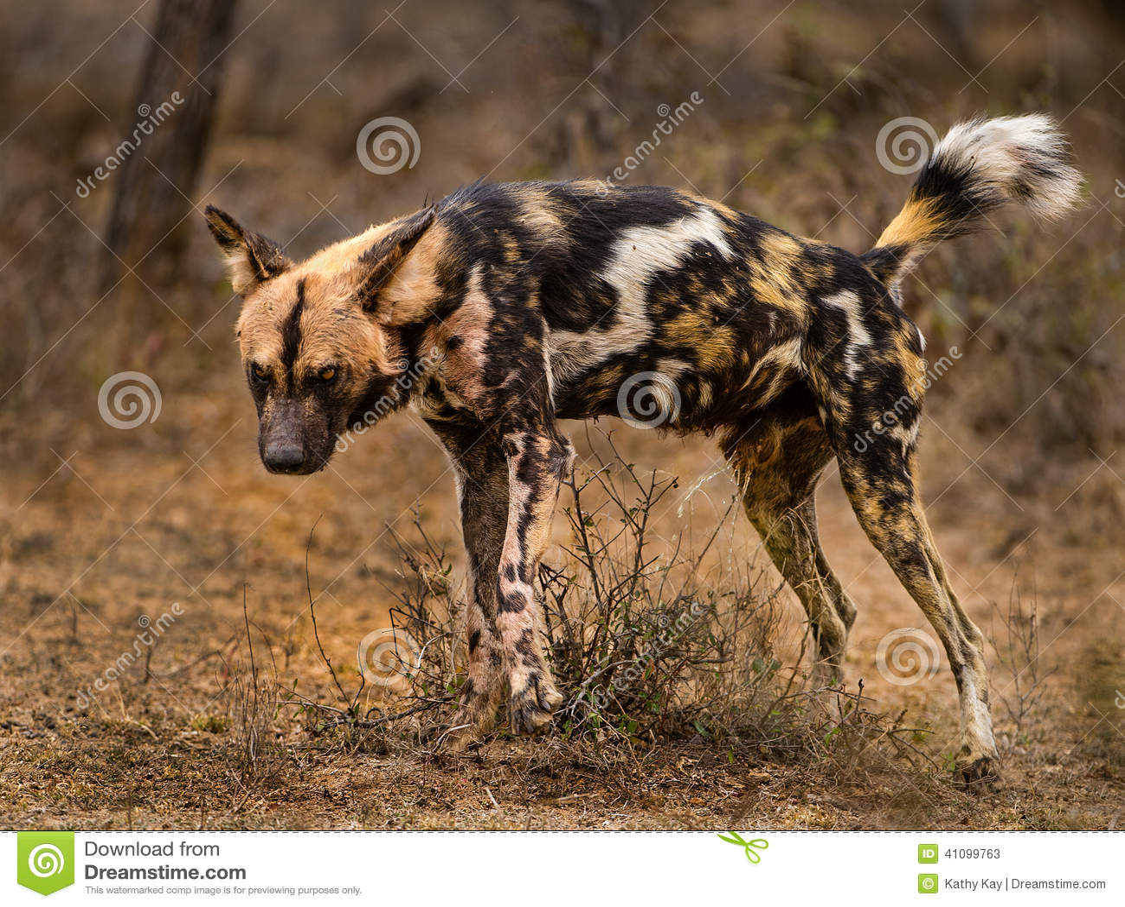 Pack Wild Dogs Australia
