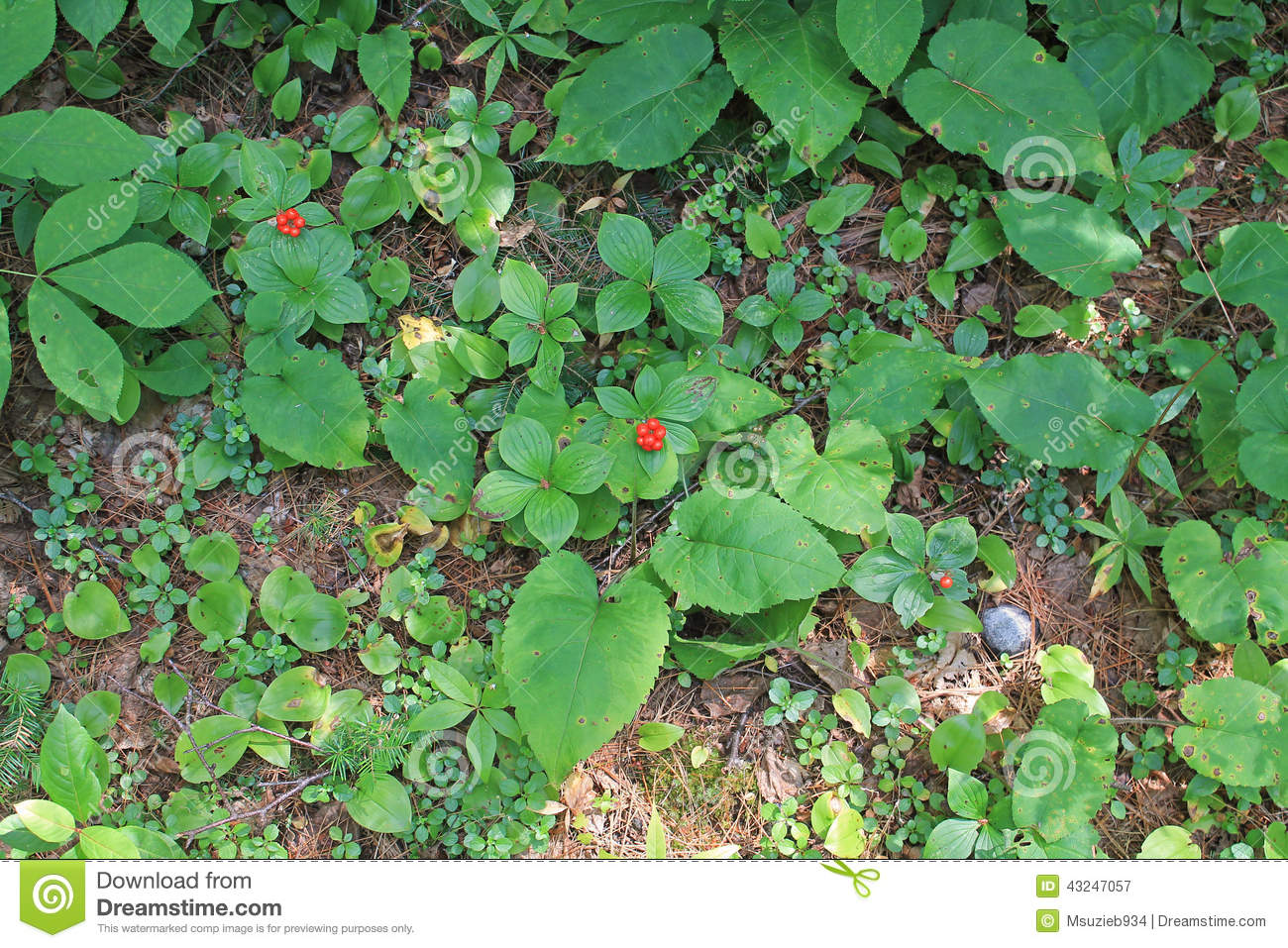 Growing bunchberries - dwarf dogwood shrubs. Two have bright red ...