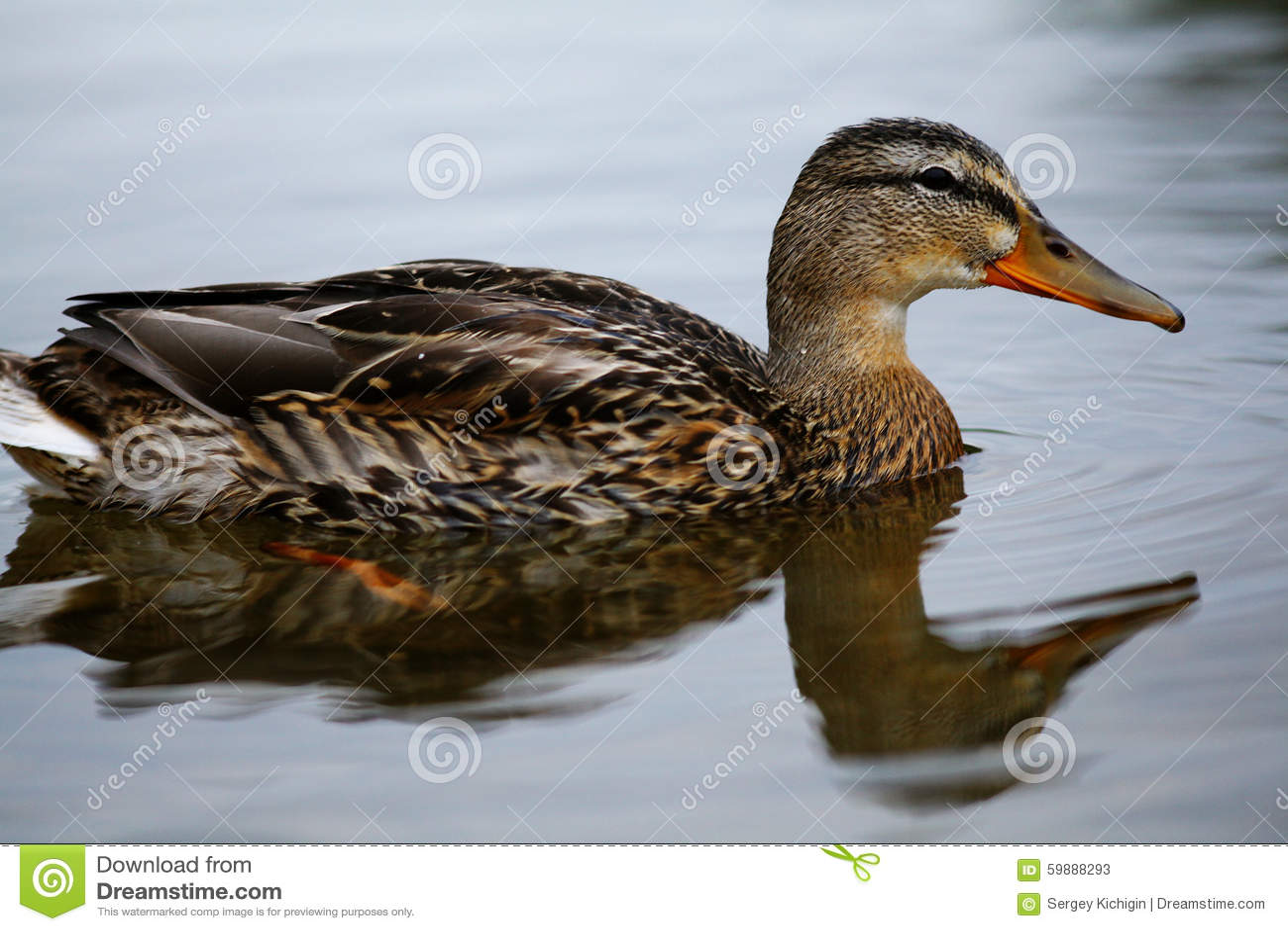 Wild duck swimming in pond