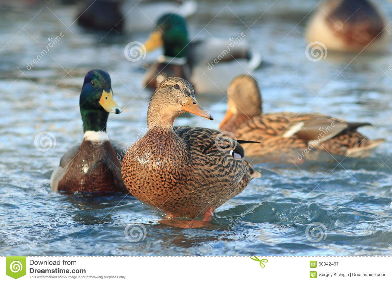 Wild ducks in cold pond stock image image of nature for Duck pond water