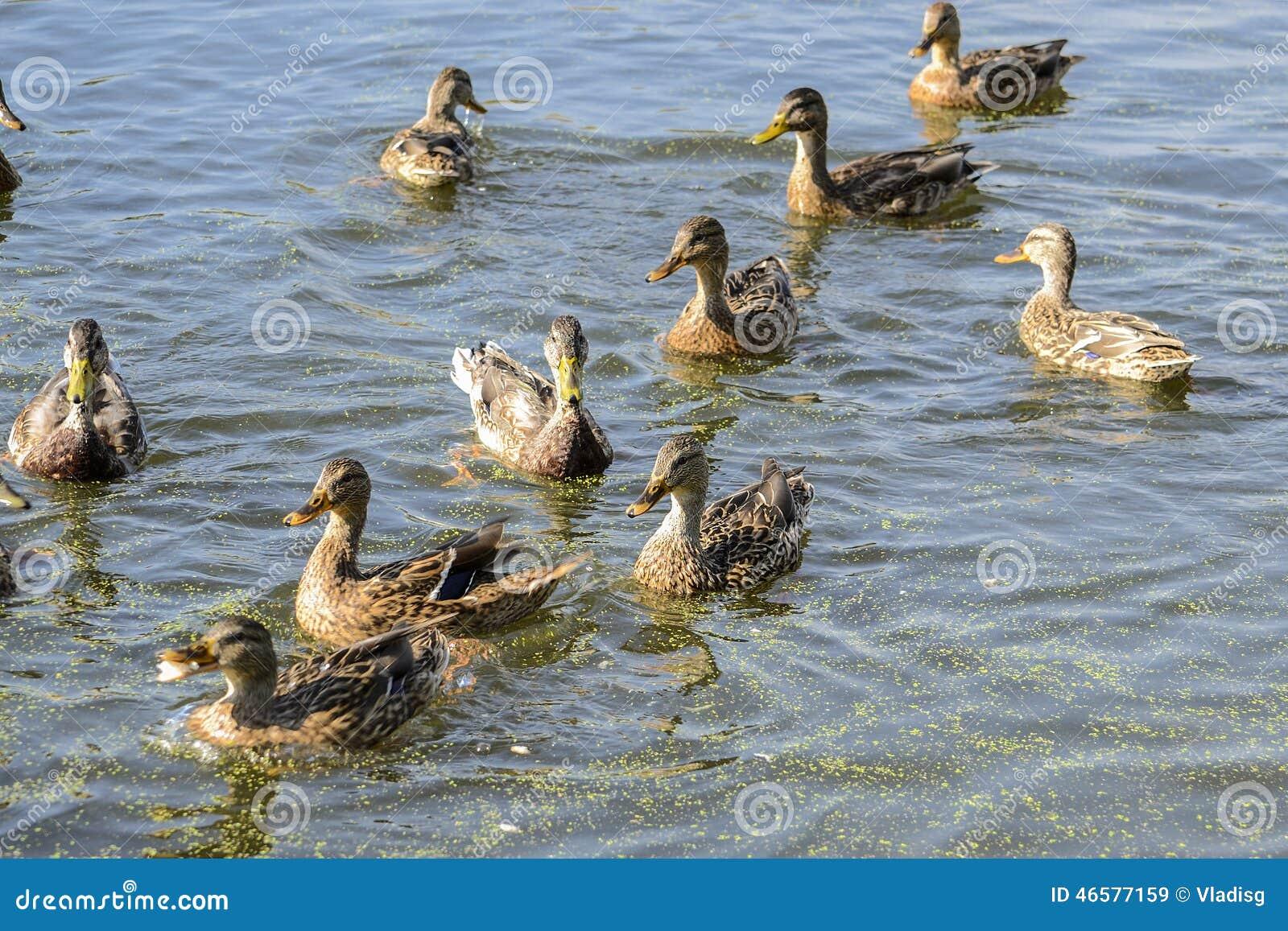 ducks swimming on the - photo #41