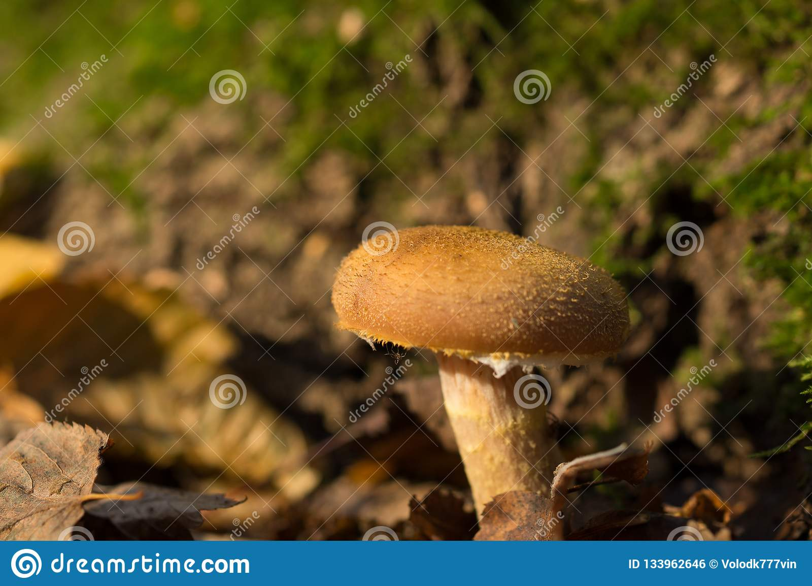 Big beautiful mushroom grows in the forest