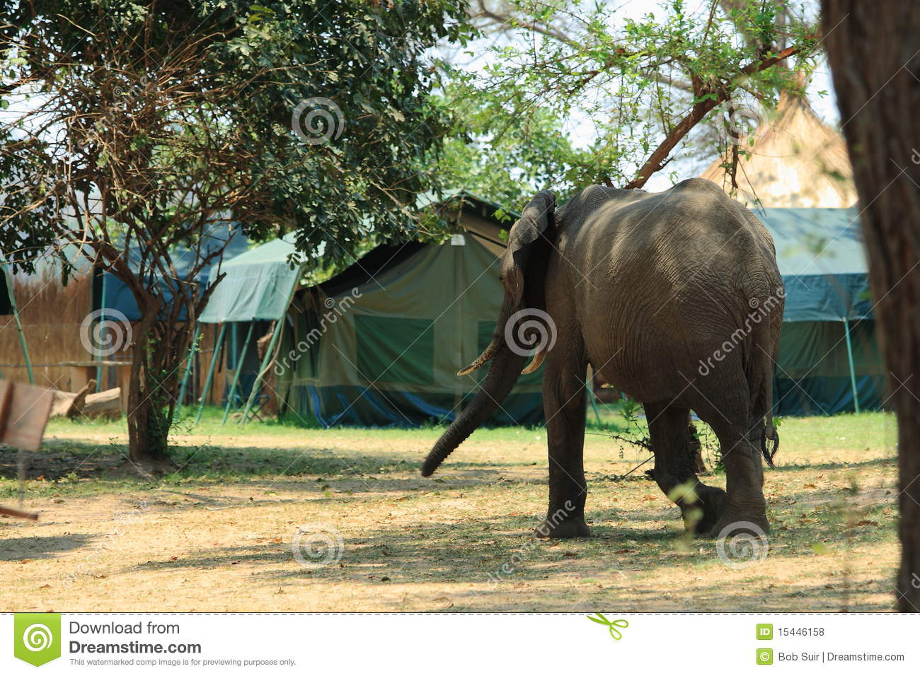 Wild elephant on the campsite
