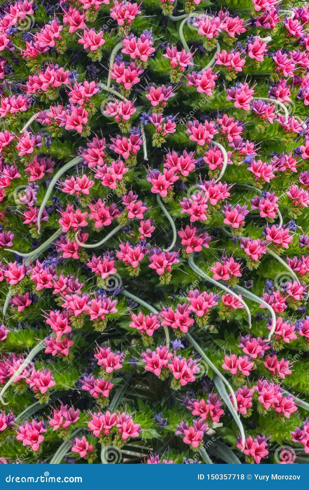 Wild Endemic beautiful flower Tajinaste rojo Echium wildpretii. Travel card. Clean background. Teide National Park, Tenerife,